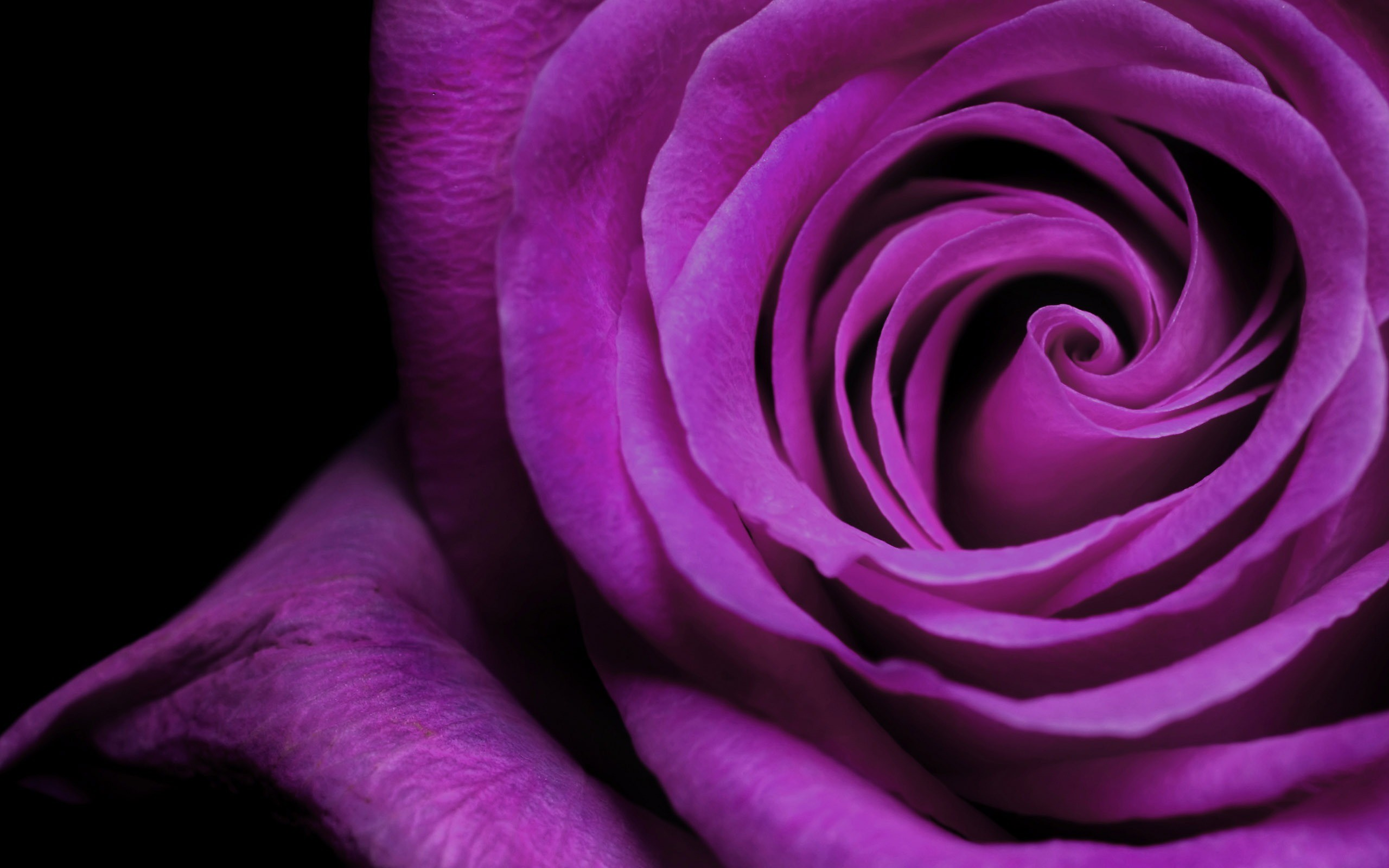 2560x1600 Purple And White Rose Wallpaper