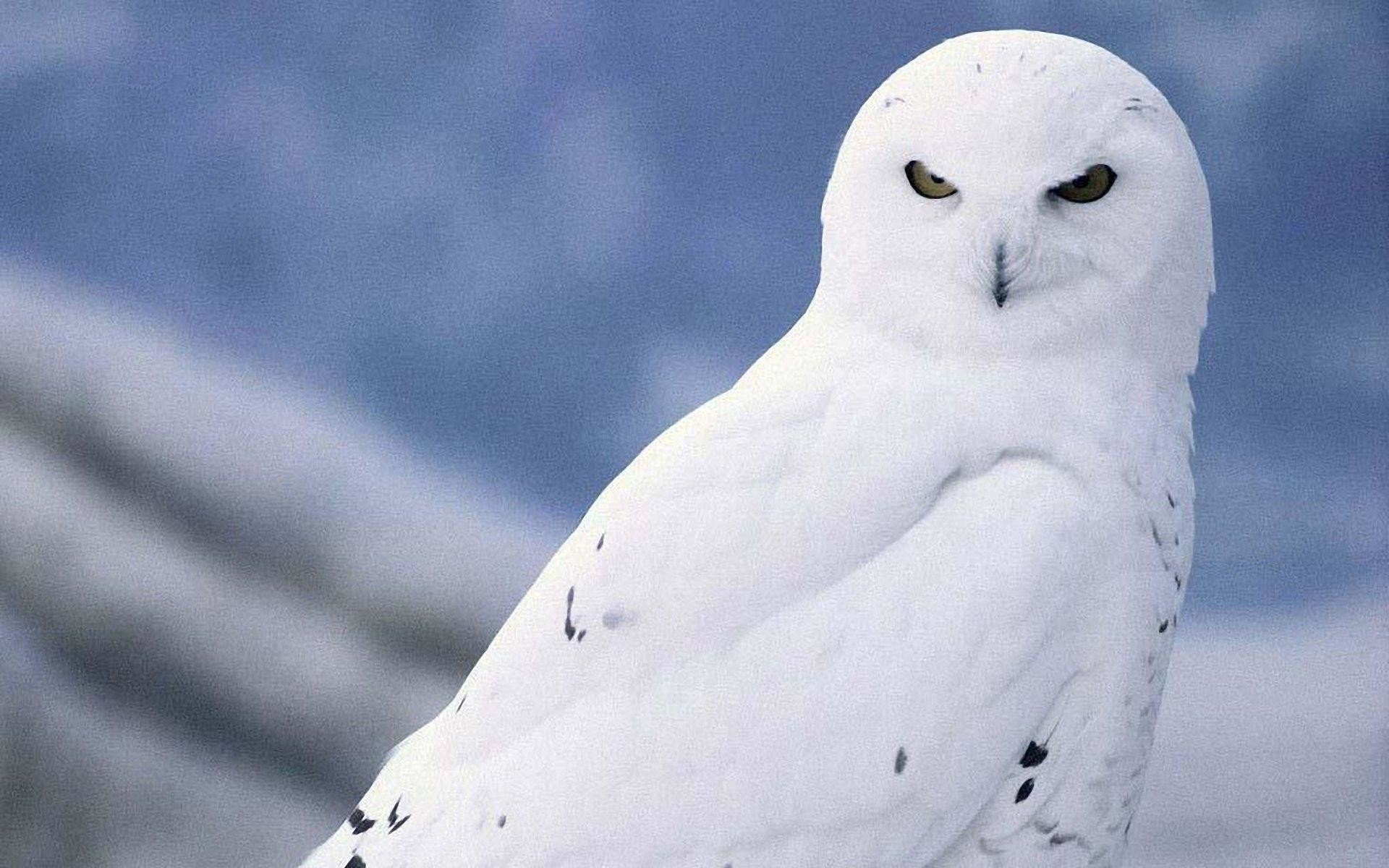 snowy owl wallpaper hd (78+ images)