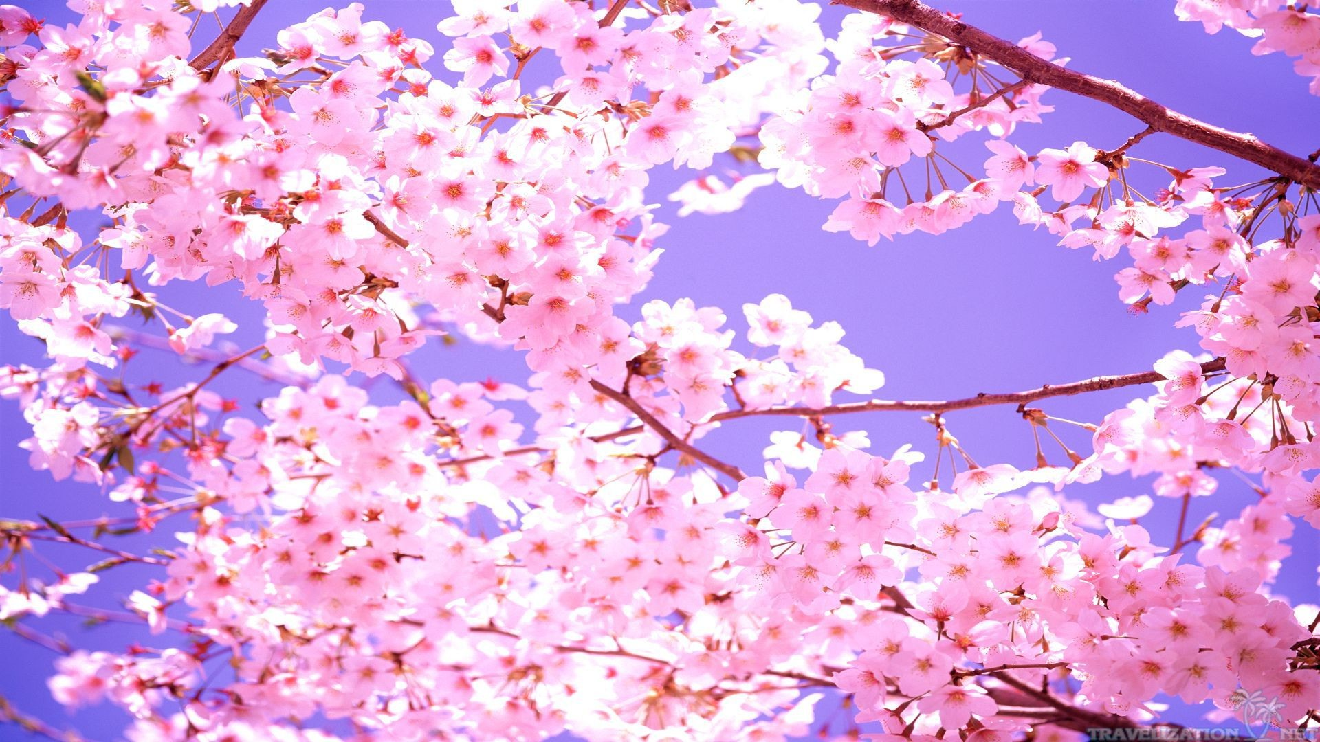 Обои цветы сакуры фото