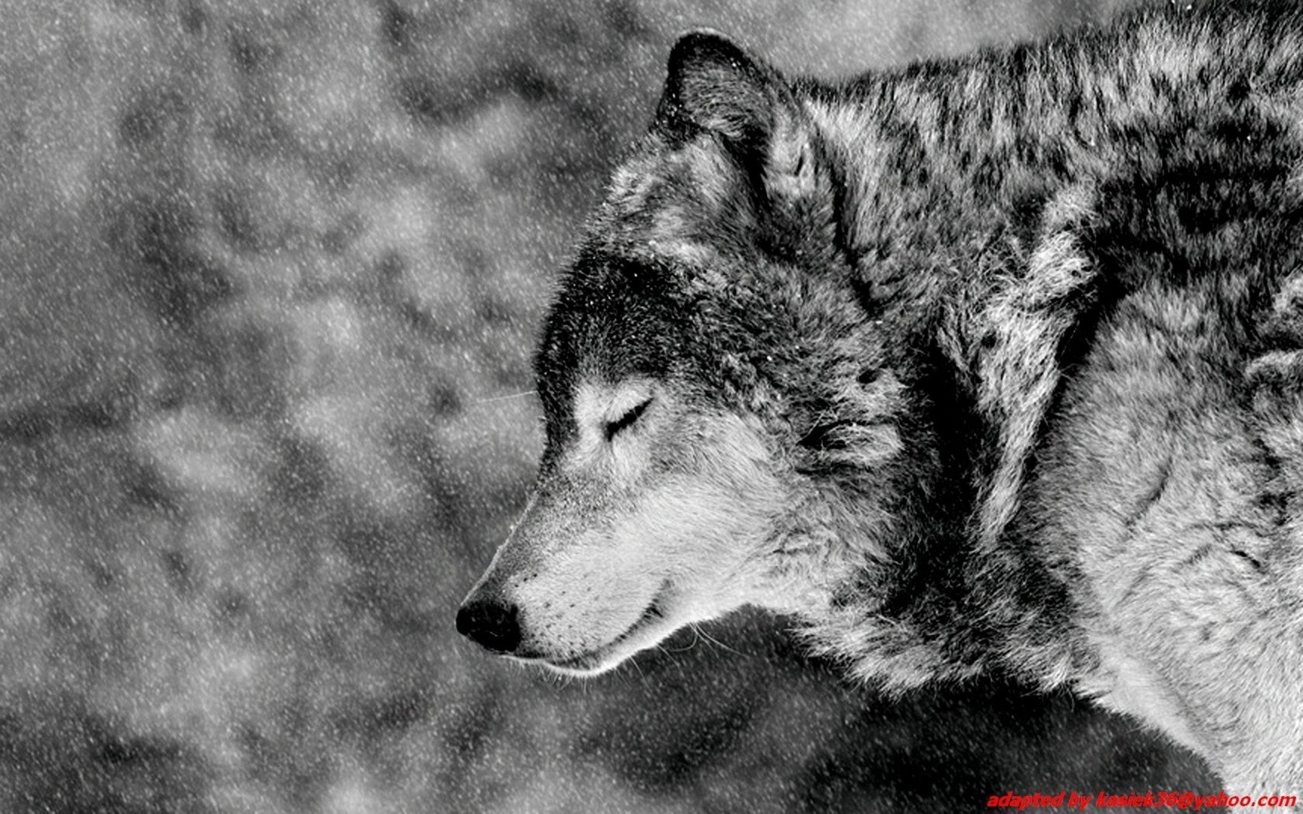 2494x1658 Dark Wolf HD Photo Wallpaper