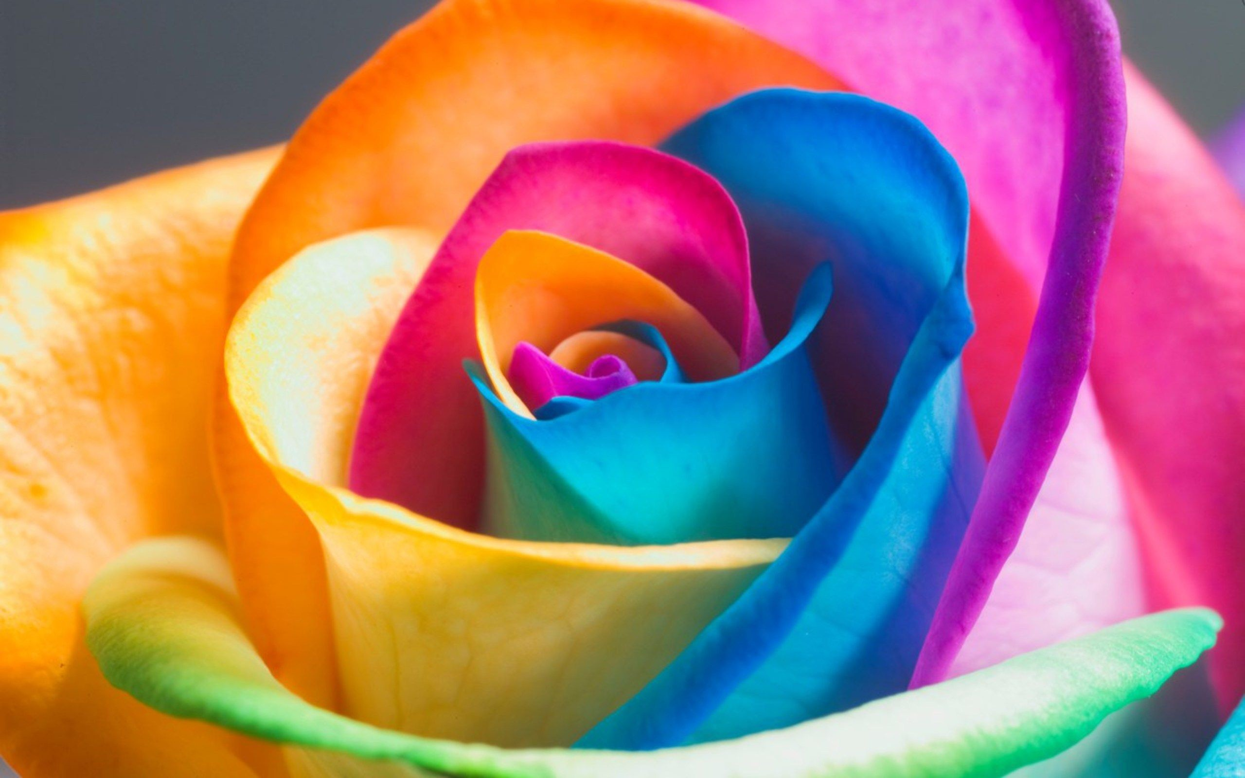 2560x1600 Garden plants Beautiful Rainbow Rose Seeds Multi-colored Rose seed – Decor  Home Ideas