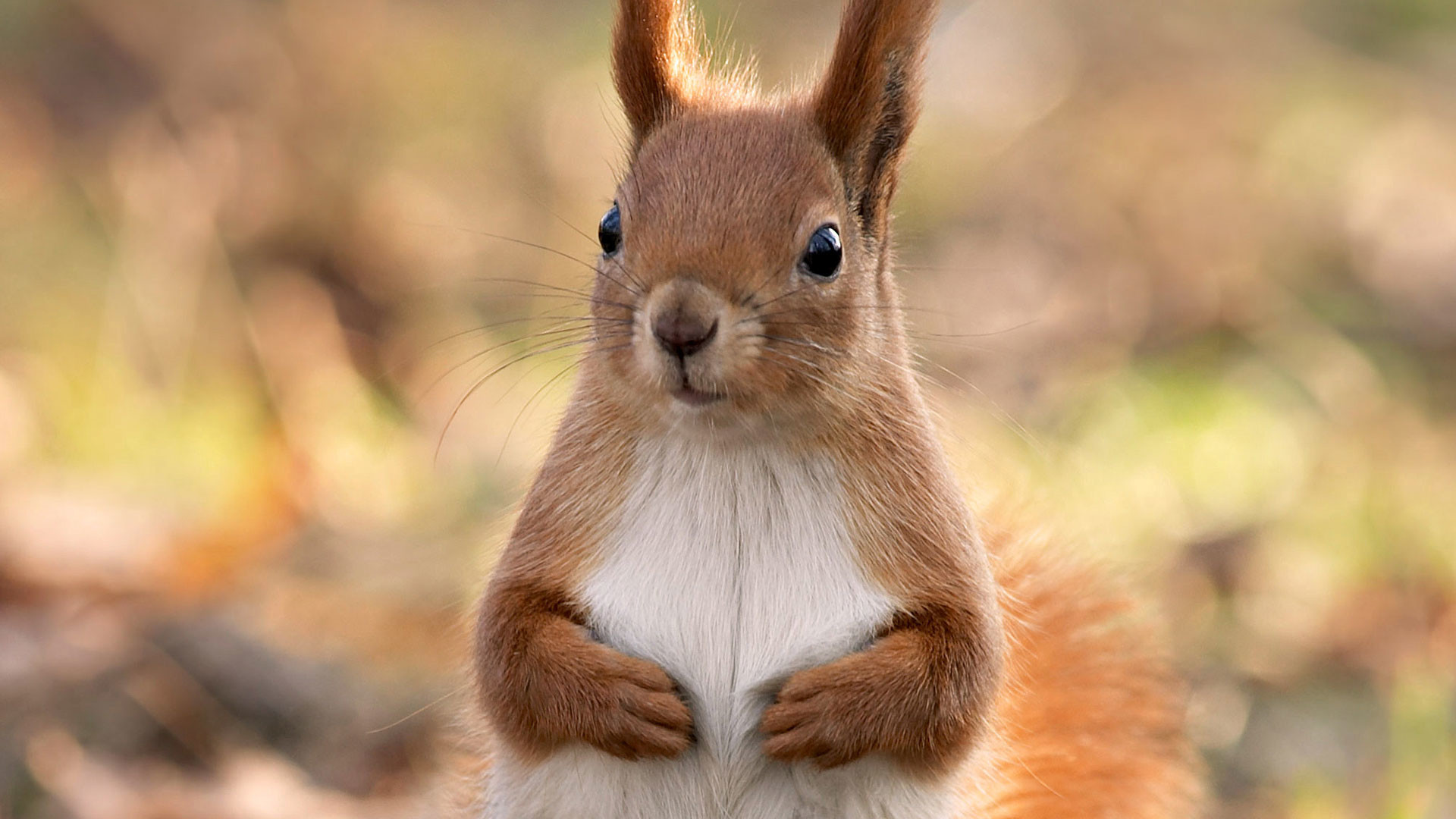 1920x1080 hd pics photos cute squirrel best attractive brown hd quality desktop  background wallpaper