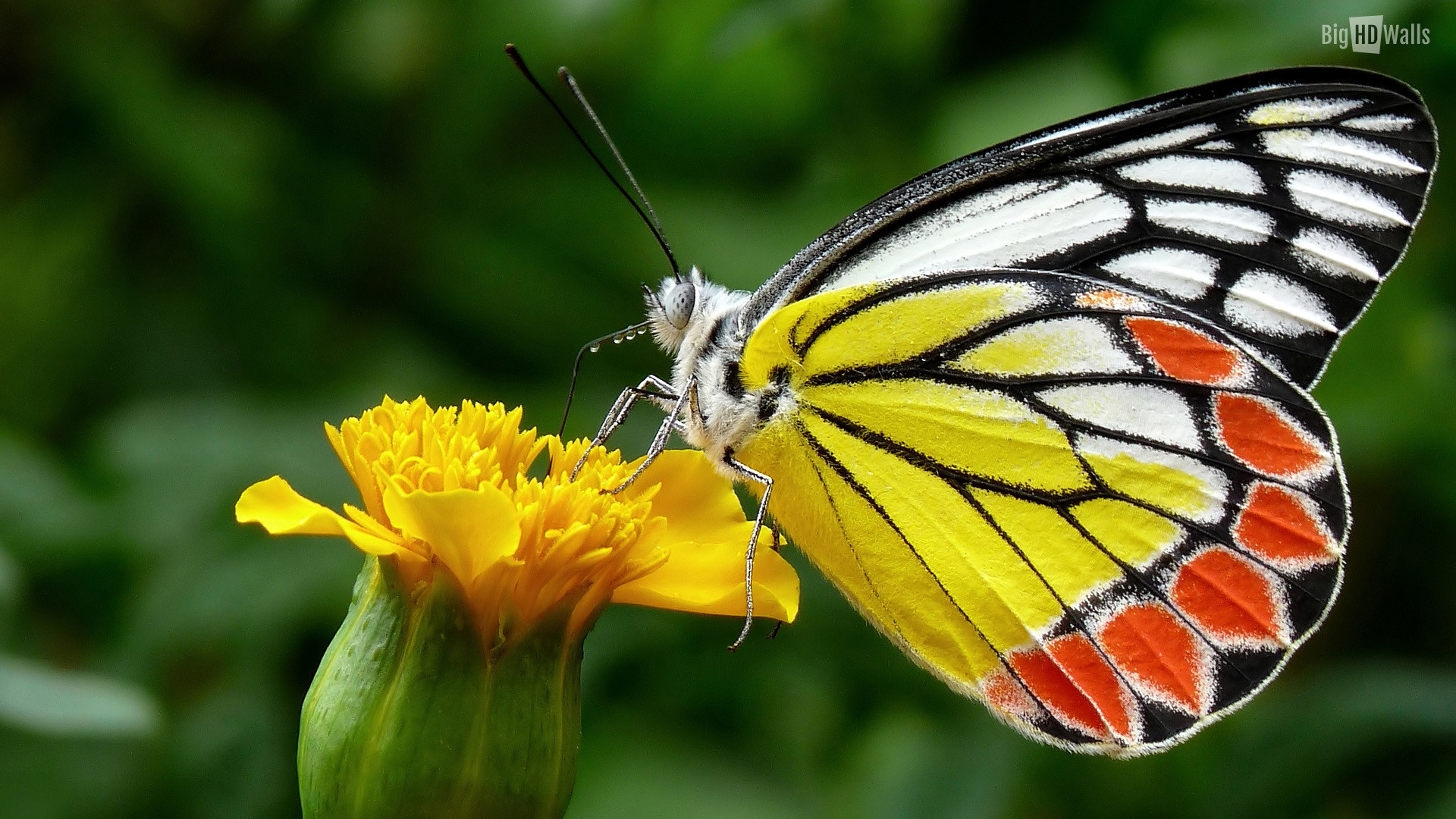 Butterflies Wallpapers Hd Download: Butterfly HD Wallpaper (68+ Images