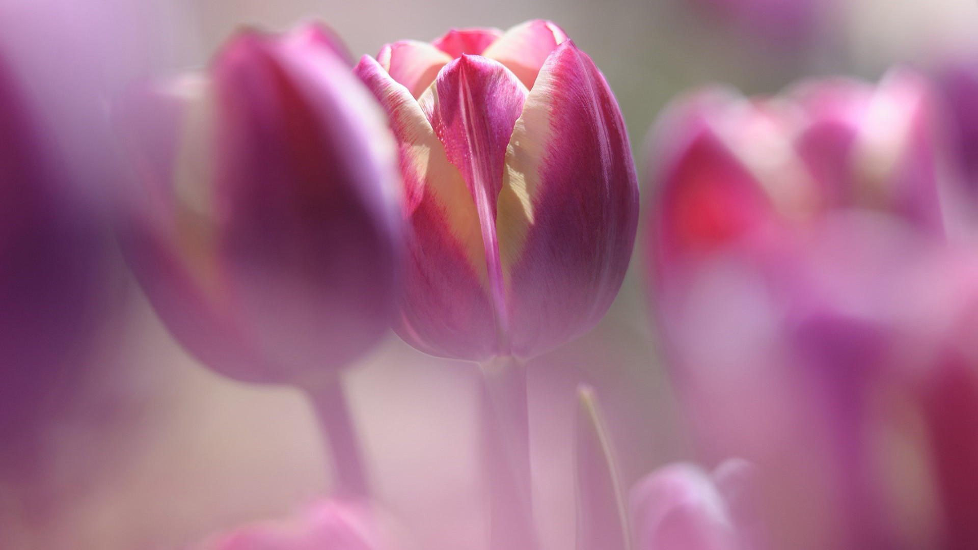 Pink Tulips Wallpaper 68 Images