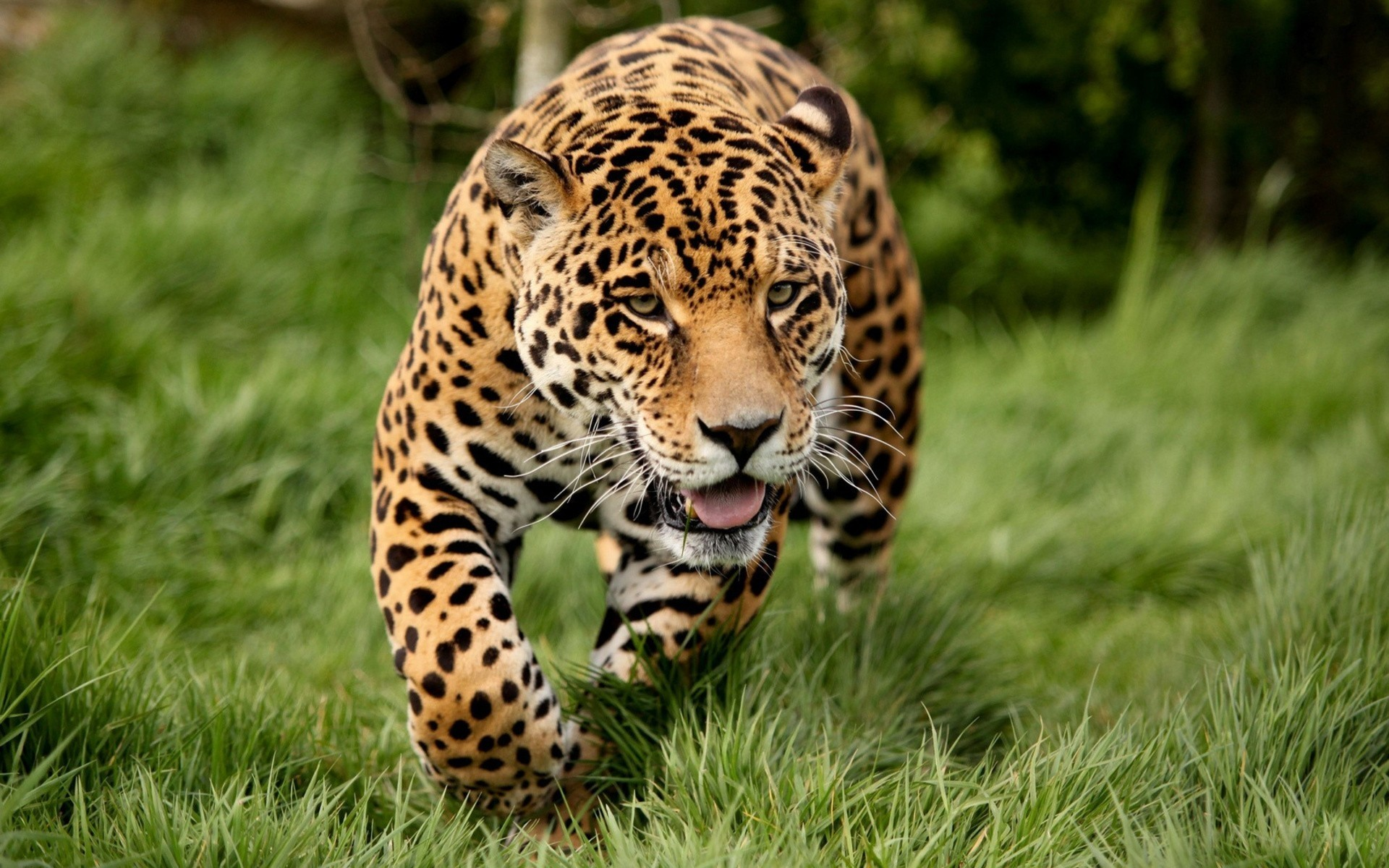 1920x1200  Wallpaper leopard, grass, run, big cat