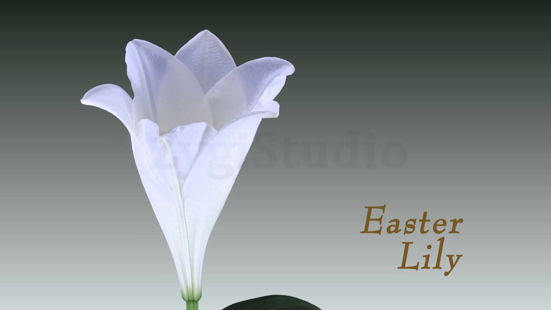 1920x1080 Time-lapse of Opening White Easter Lily.
