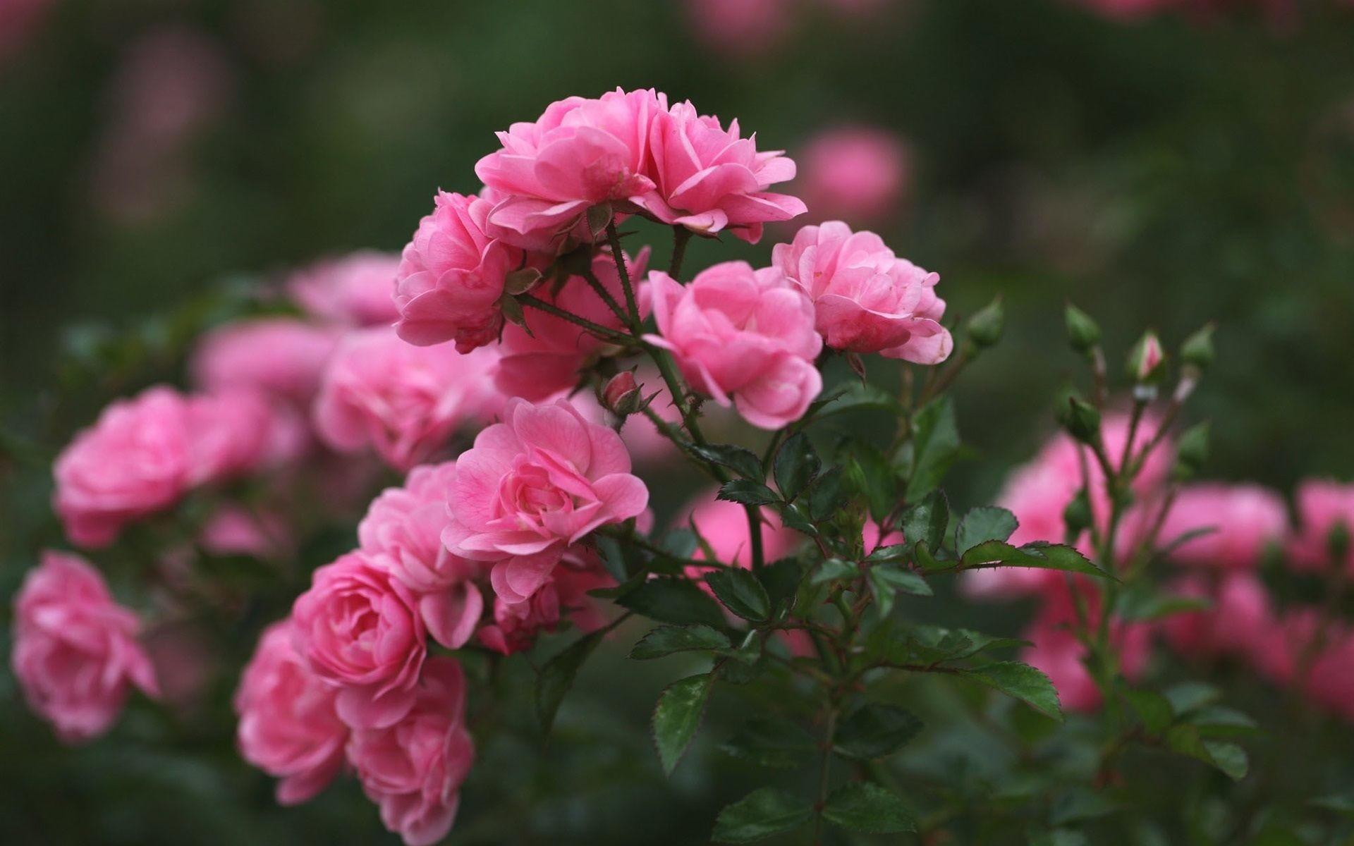 desktop wallpaper rose flowers: Roses Wallpaper For Desktop (46+ Images