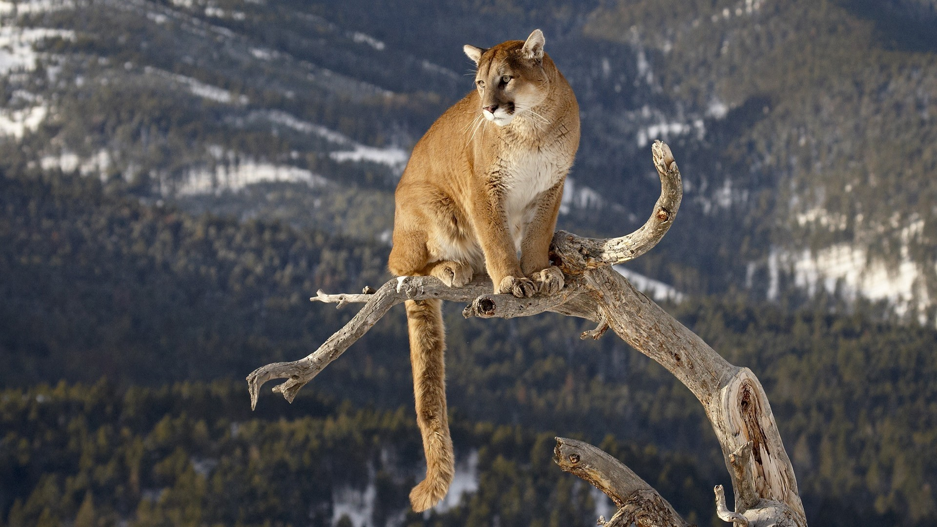 1920x1080  Wallpaper puma, branches, mountains, grass, sitting, big cat