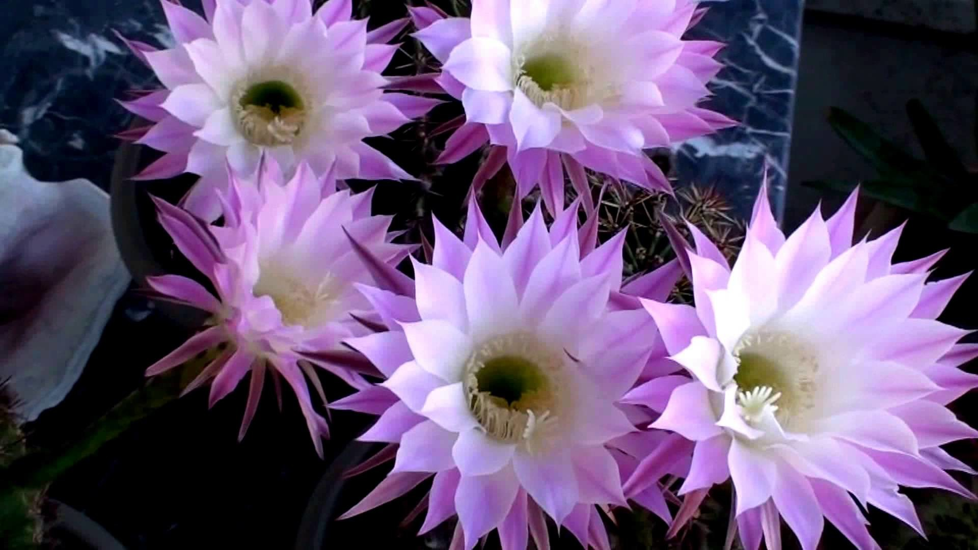 1920x1080 Violet Easter Lily Cactus