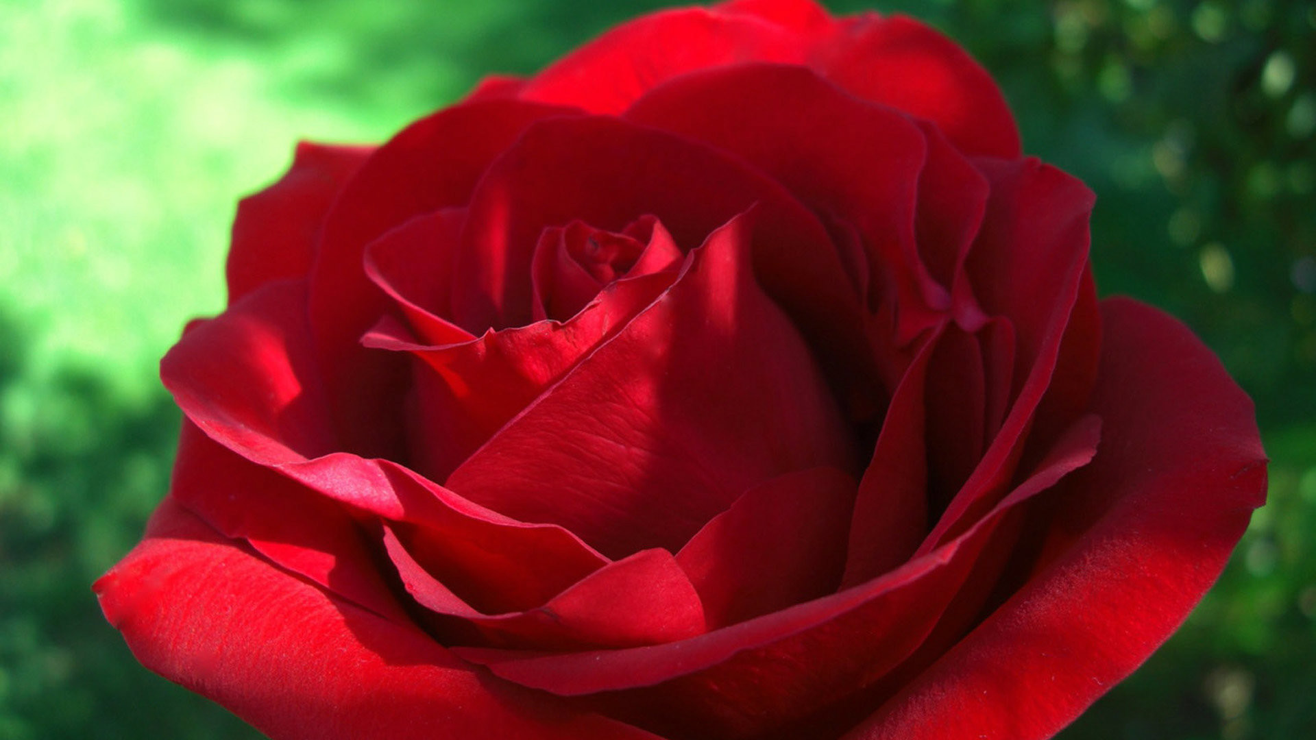 1920x1080 Lovely Red Rose Wallpaper For Desktop