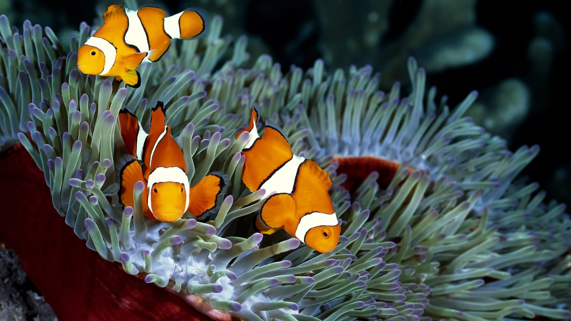 1920x1080 Wallpaper With A Orange Tropical Fish Hd Orange Fish Wallpapers .
