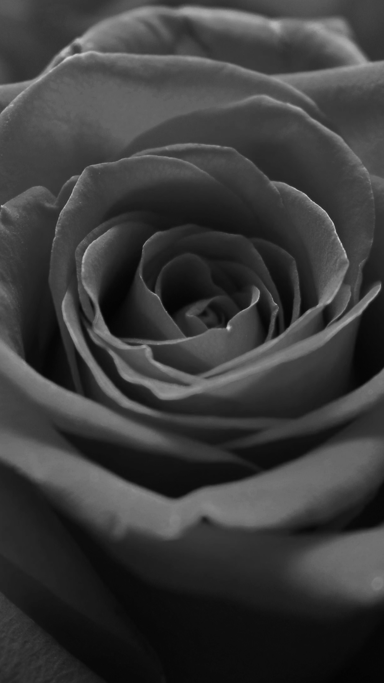 1242x2208 Black And White Macro Rose Flower Grey Dark Android Wallpaper