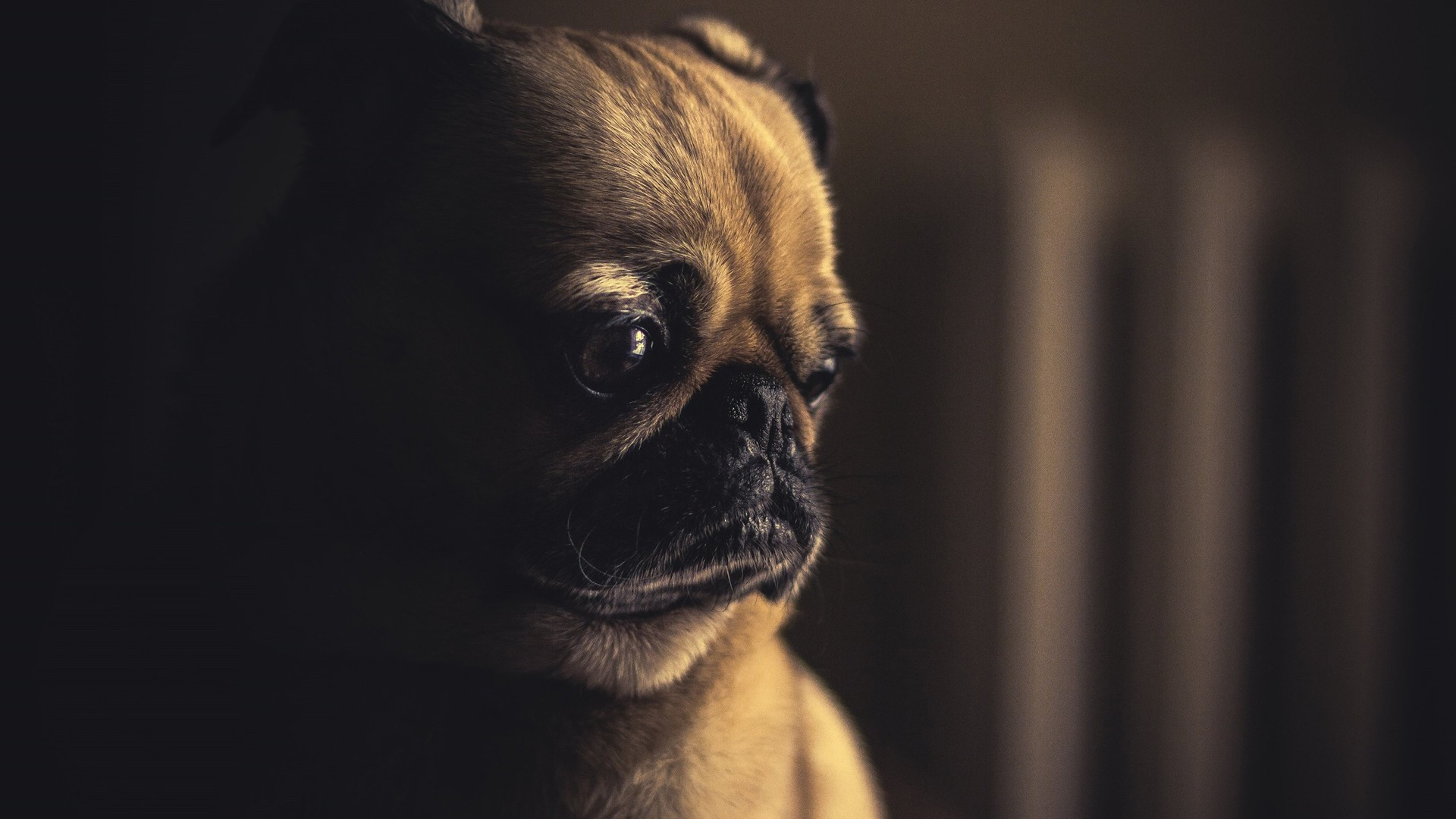 1920x1080 Pug Desktop HD Wallpaper 10420