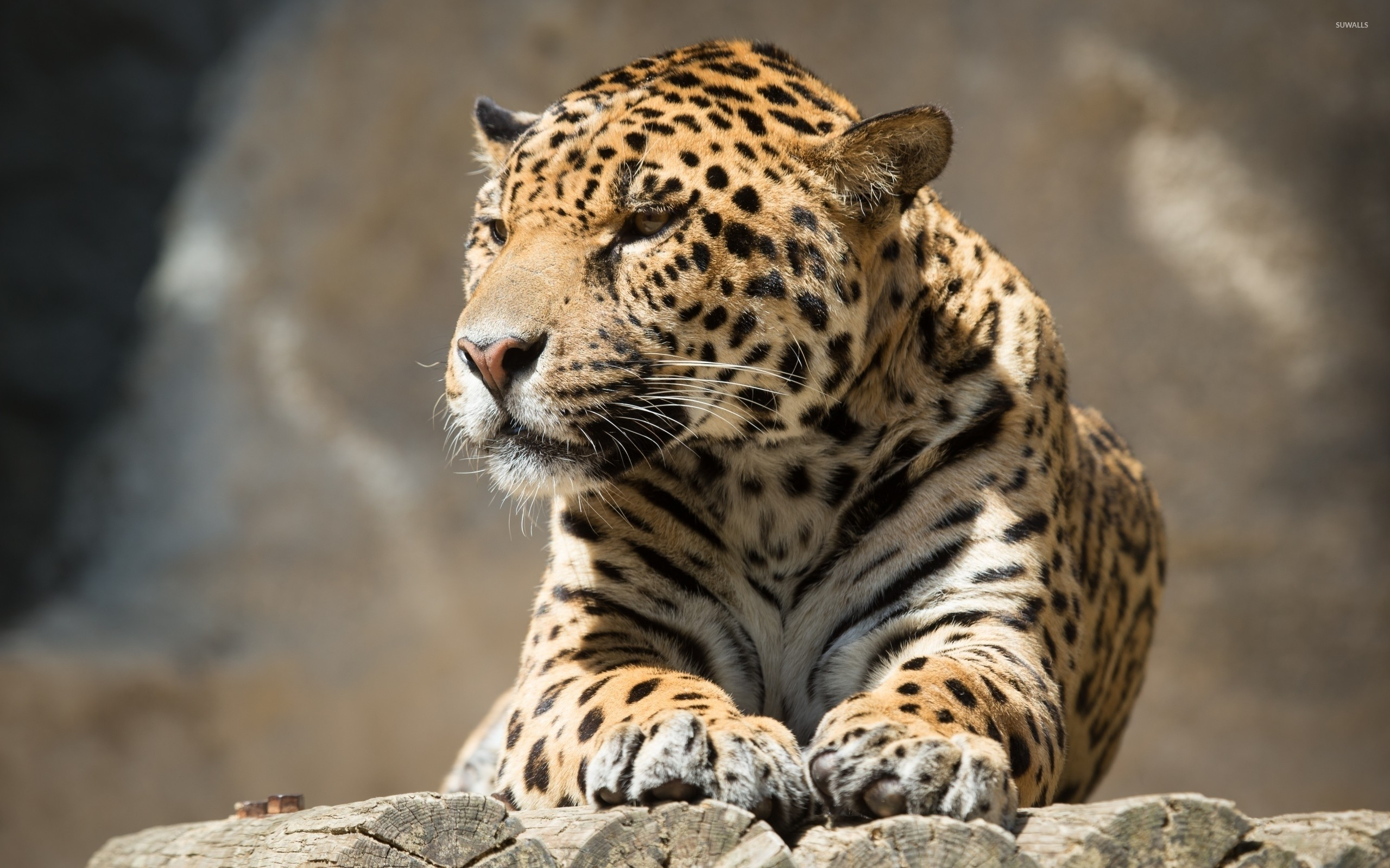 2560x1600 Jaguar resting on tree logs wallpaper  jpg