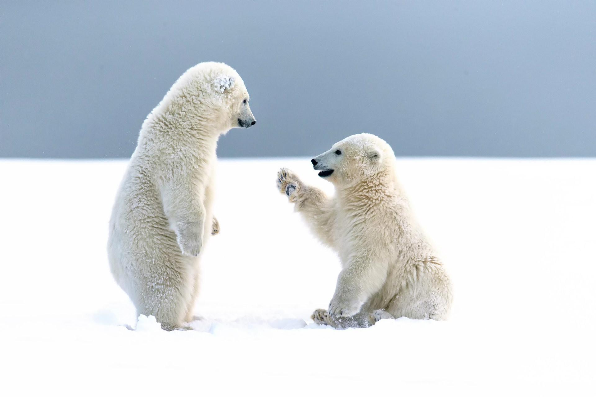 Baby Polar Bear Wallpaper (52+ Images