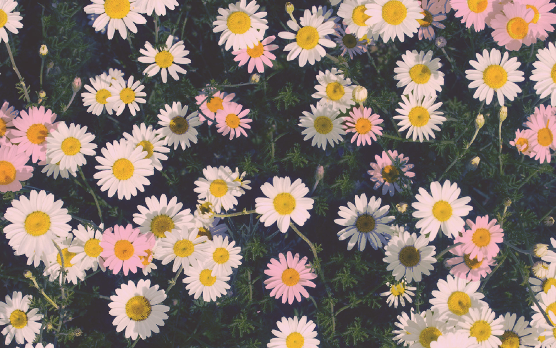 Spring Daisy Flower Wallpaper 51 Images