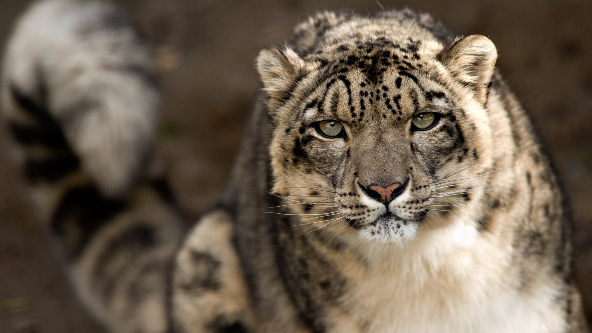 1920x1080 Download Wallpaper  snow leopard, snout, spotted, big cat Full HD  1080p HD Background