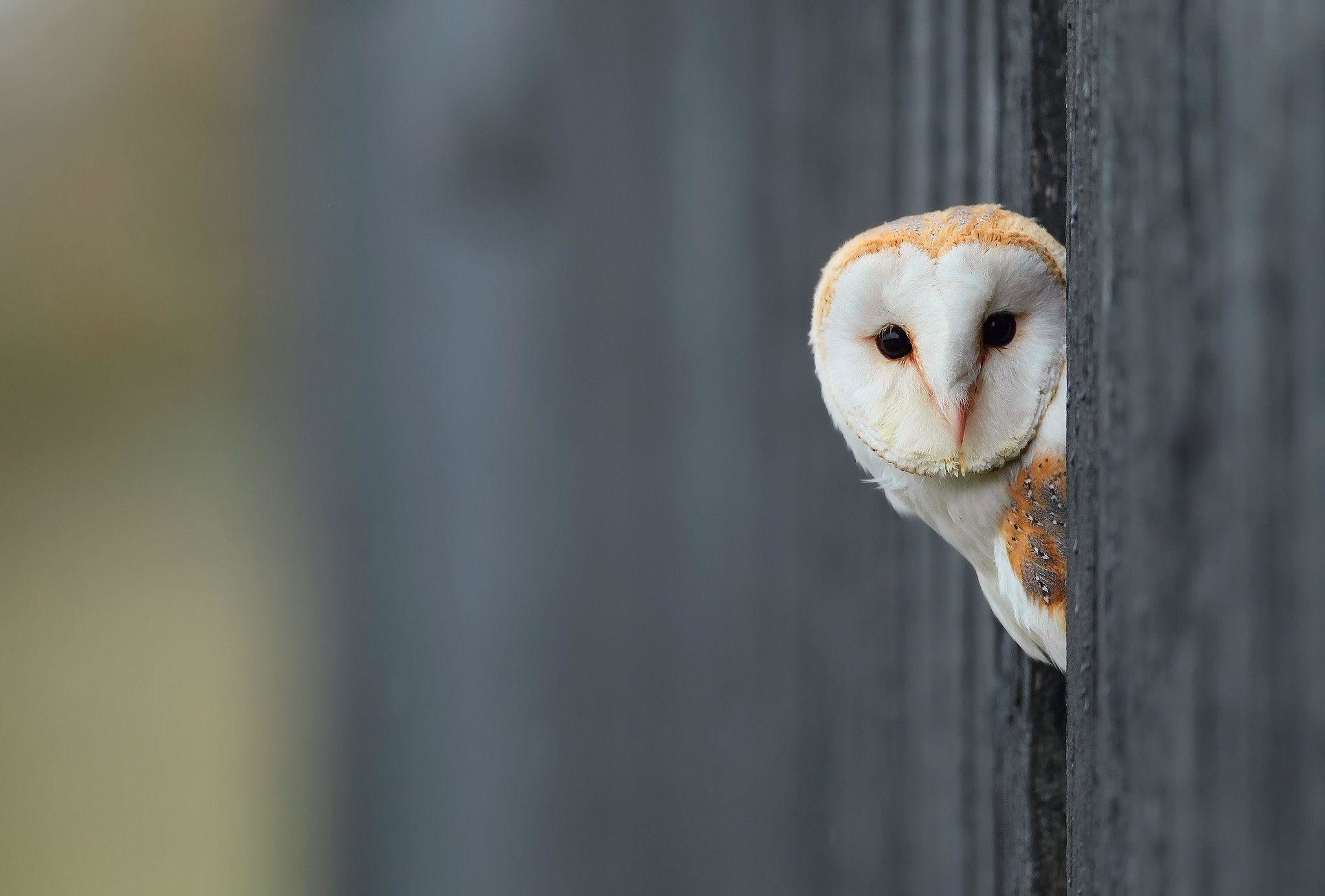 2048x1385 White Owl Wallpaper | HD Wallpapers, backgrounds high resolution .