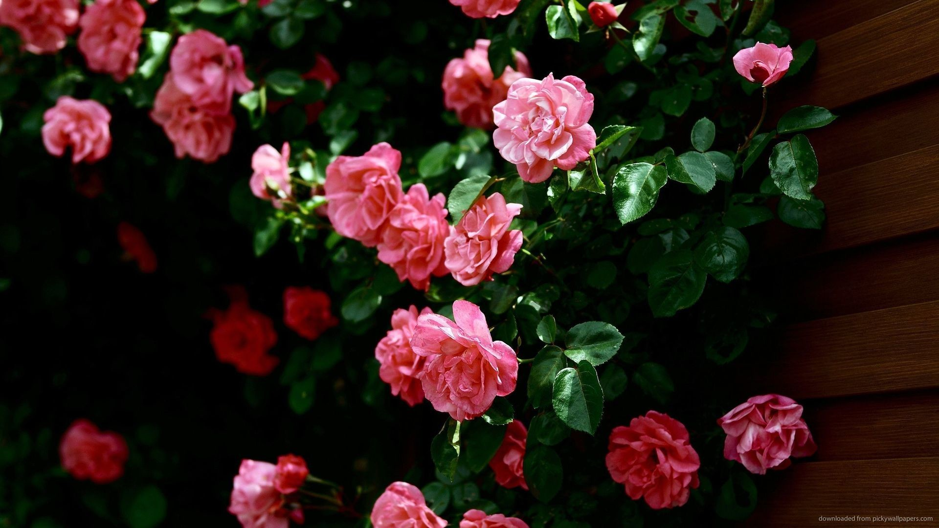 Roses screensaver wallpaper 45 images - Pink rose black background wallpaper ...