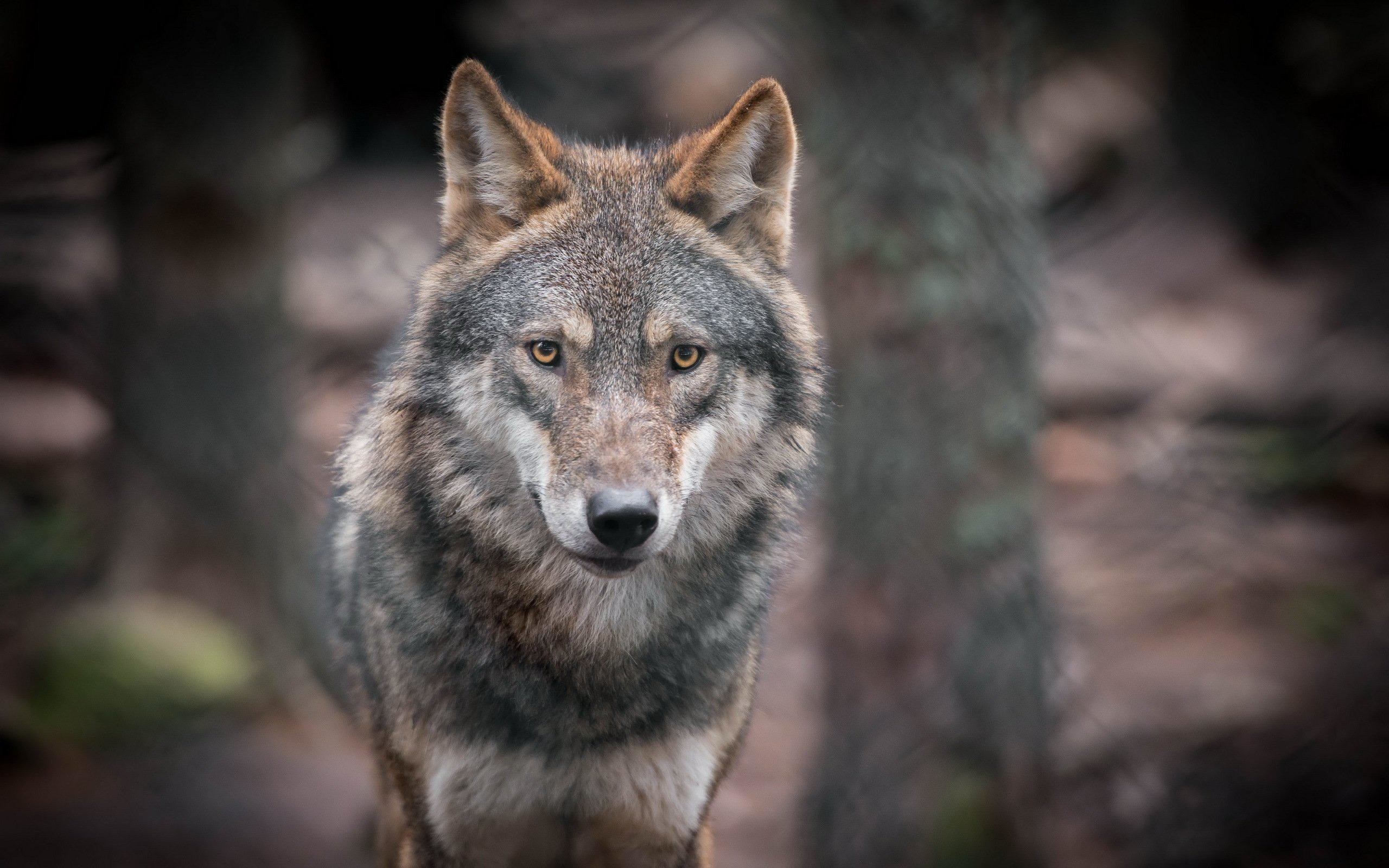 2560x1600 nice wolves glance animals wolf high resolution wallpaper Check more at  http://www