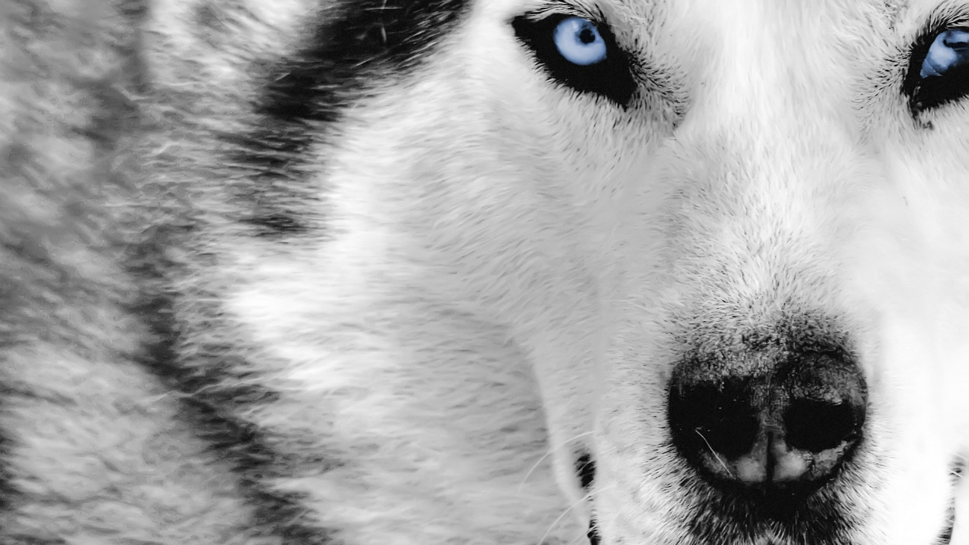 1920x1080 ... Free Wolf Wallpaper Phone Â« Long Wallpapers ...