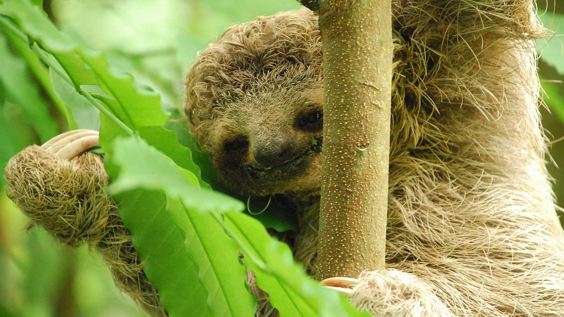 1920x1080 Baby Sloth Wallpaper Baby-sloth-300-dpi.jpg.1920x .