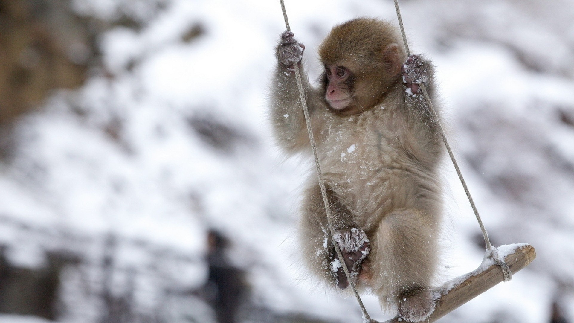 1920x1080 monkey, swing, little