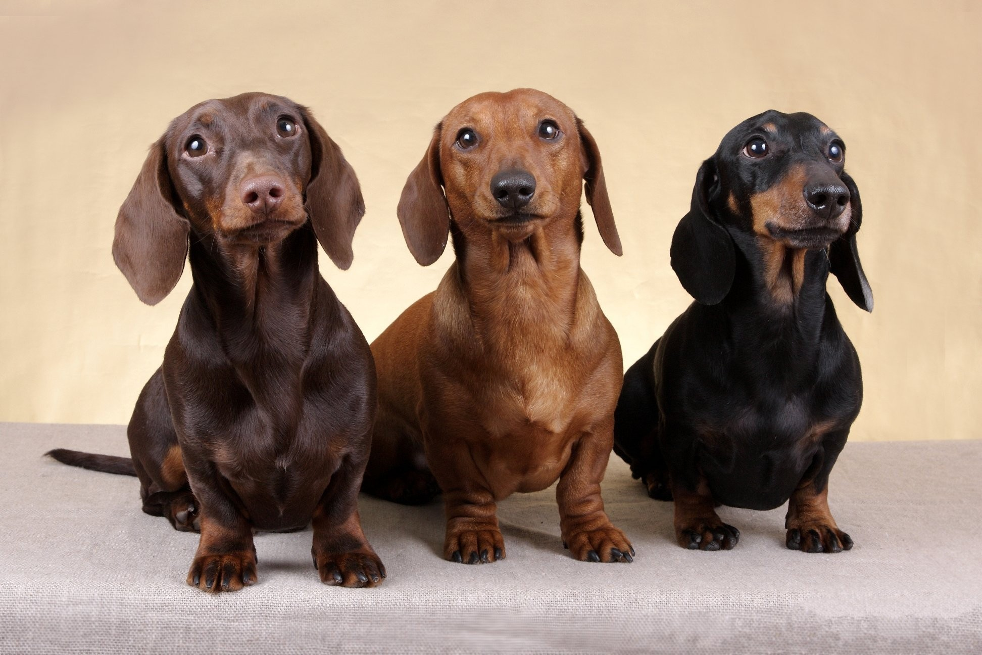 1944x1296 wallpaper.wiki-Free-Dachshund-Photo-PIC-WPB0011099