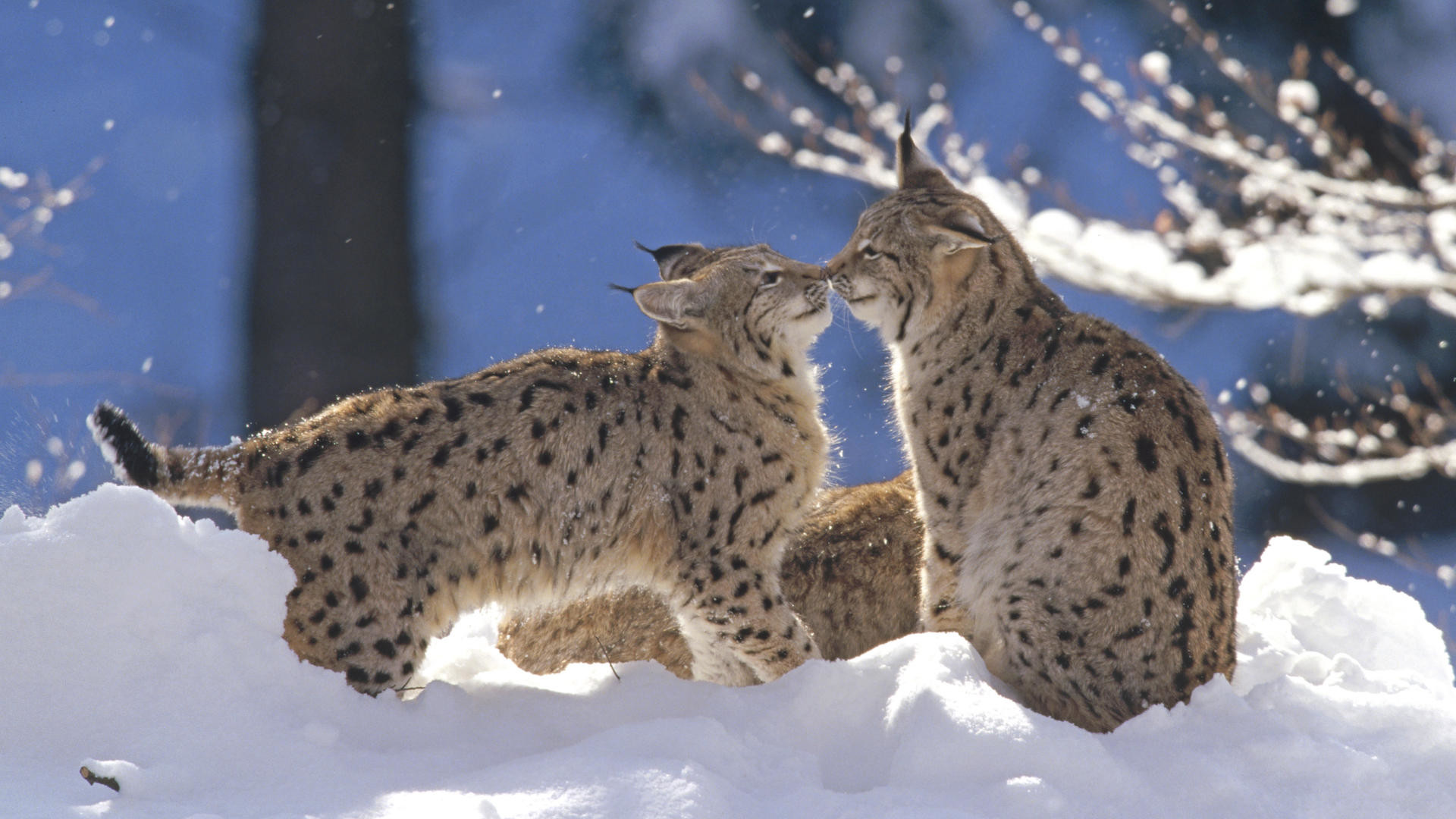 1920x1080 Wallpaper Big cats Eurasian Lynx Pair, Germany Animals