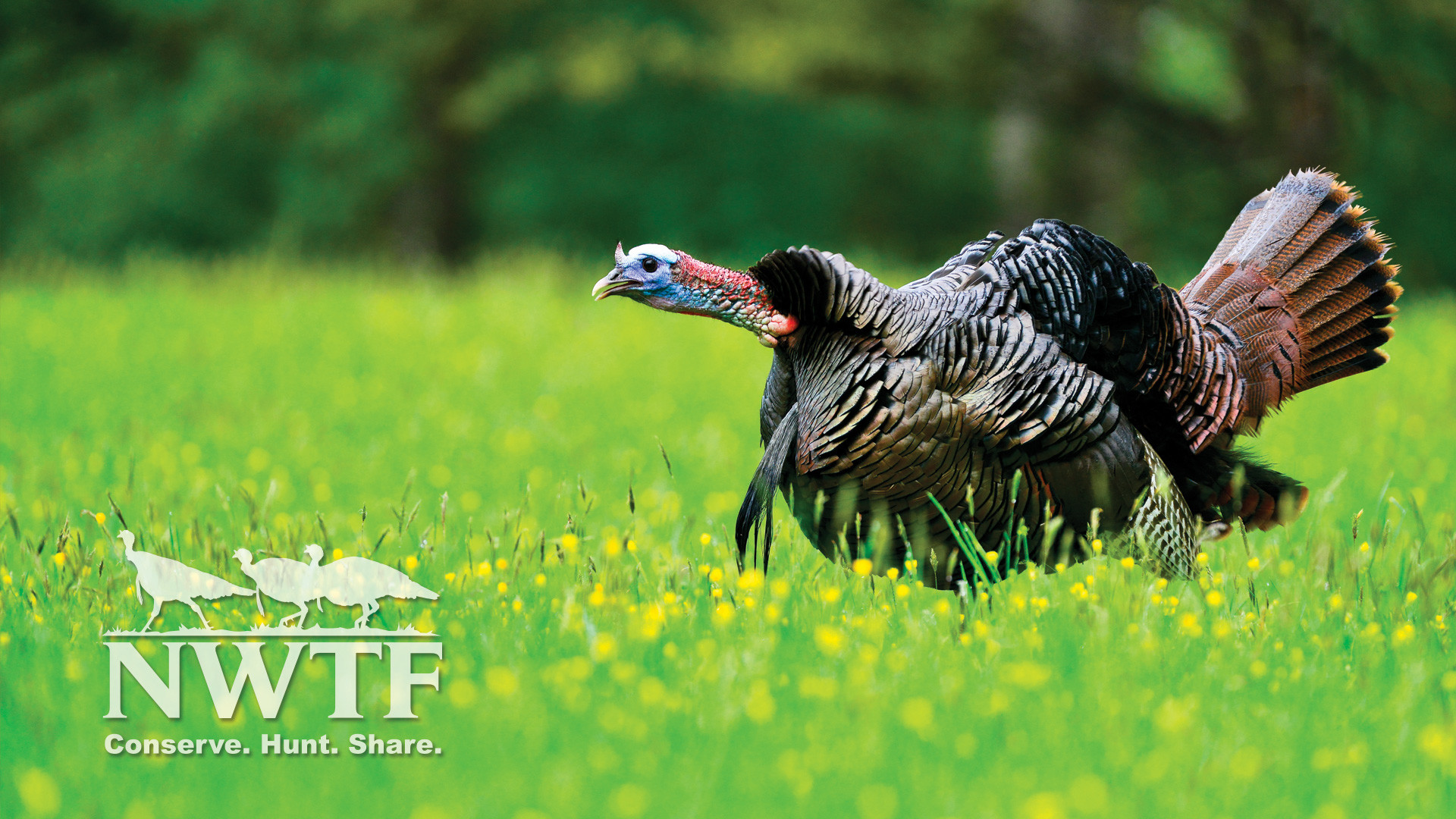 wild turkey wallpapers and screensavers 47 images