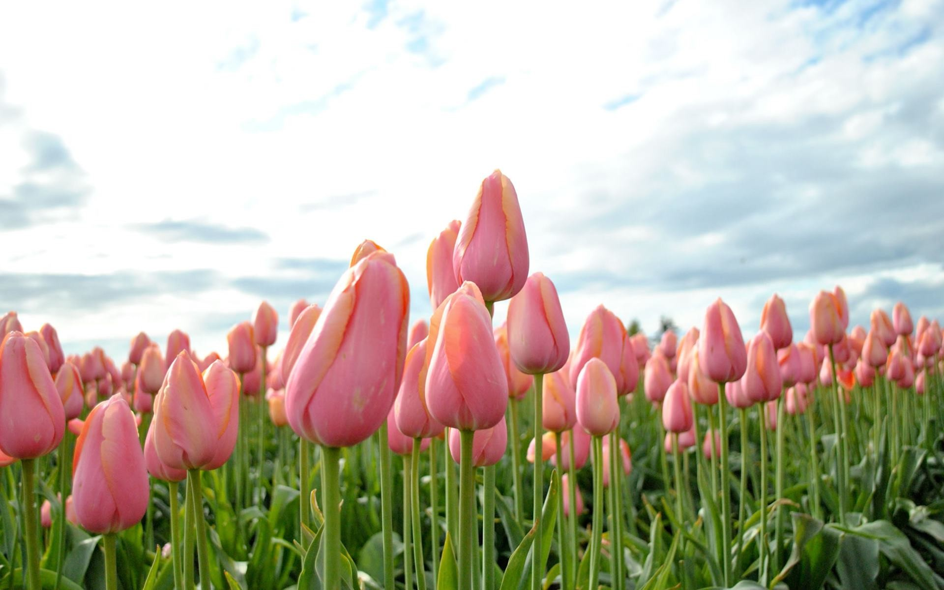 1920x1200 Pink tulip flower wallpapers 9 ...