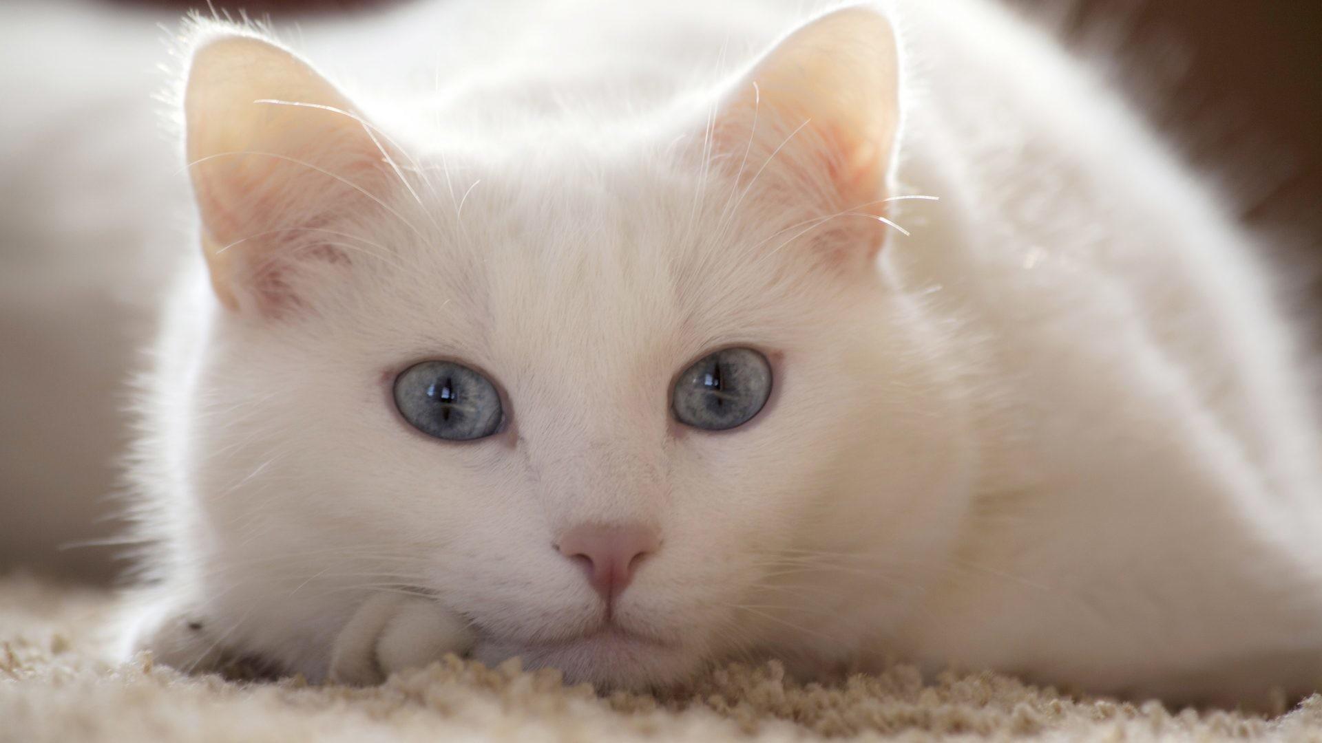 White Cat Wallpaper 76 Images