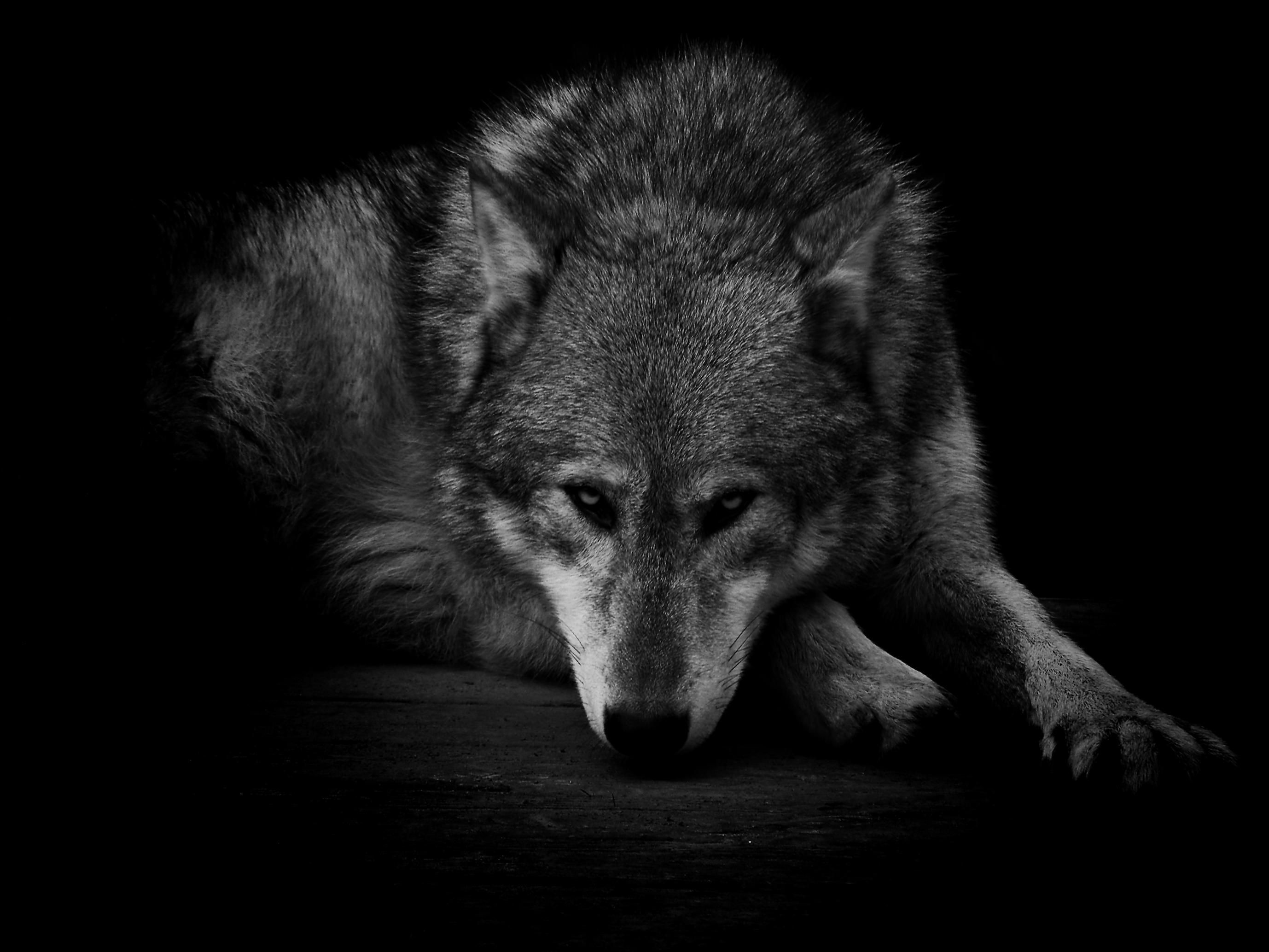 2756x2067  GRAY WOLF WALLPAPER - (#80742) - HD Wallpapers - [wallpapersinhq.