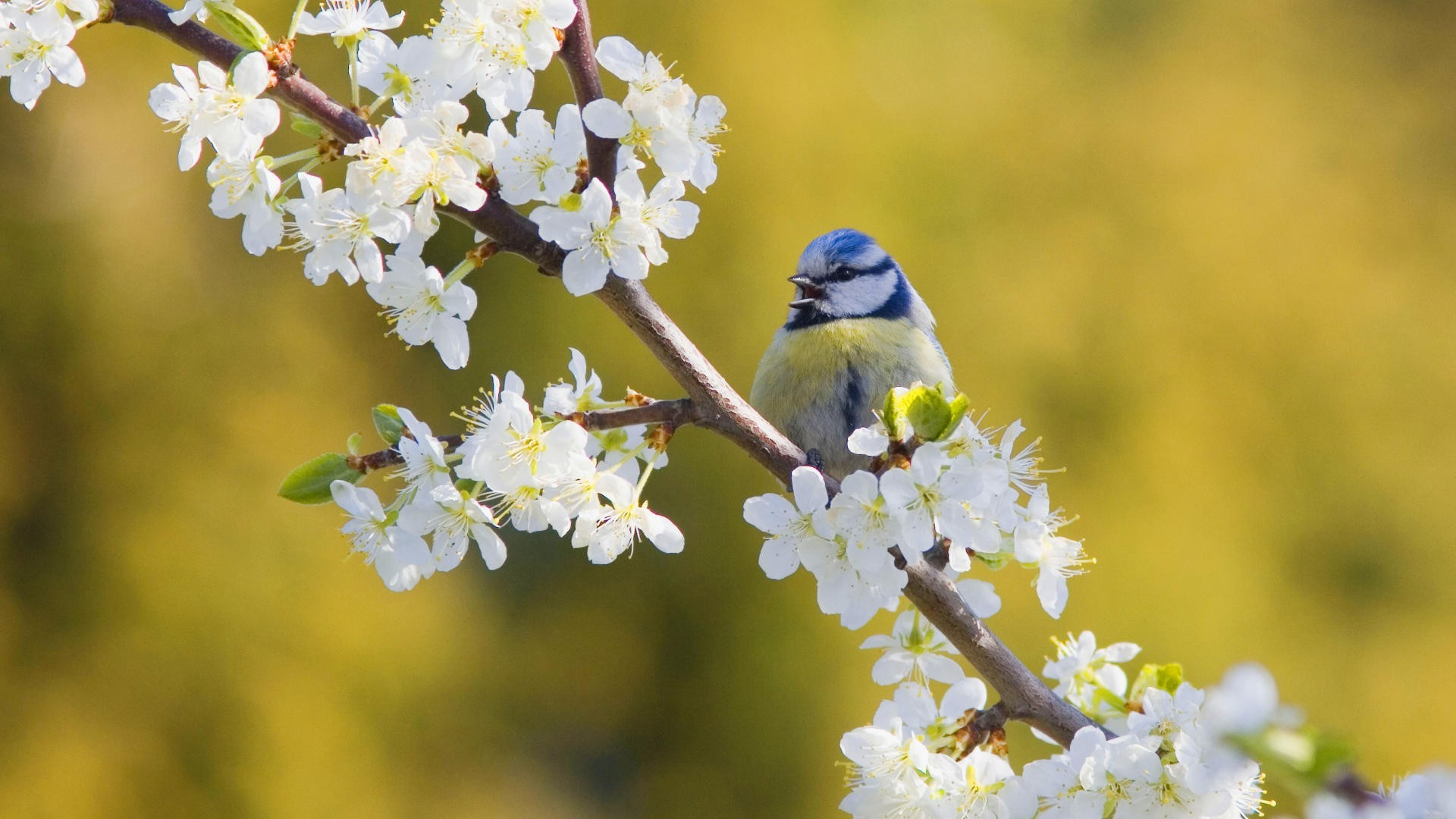 1920x1080 nature, birds, blue tit, white flowers, blurred background - Free Wallpaper  / WallpaperJam.com