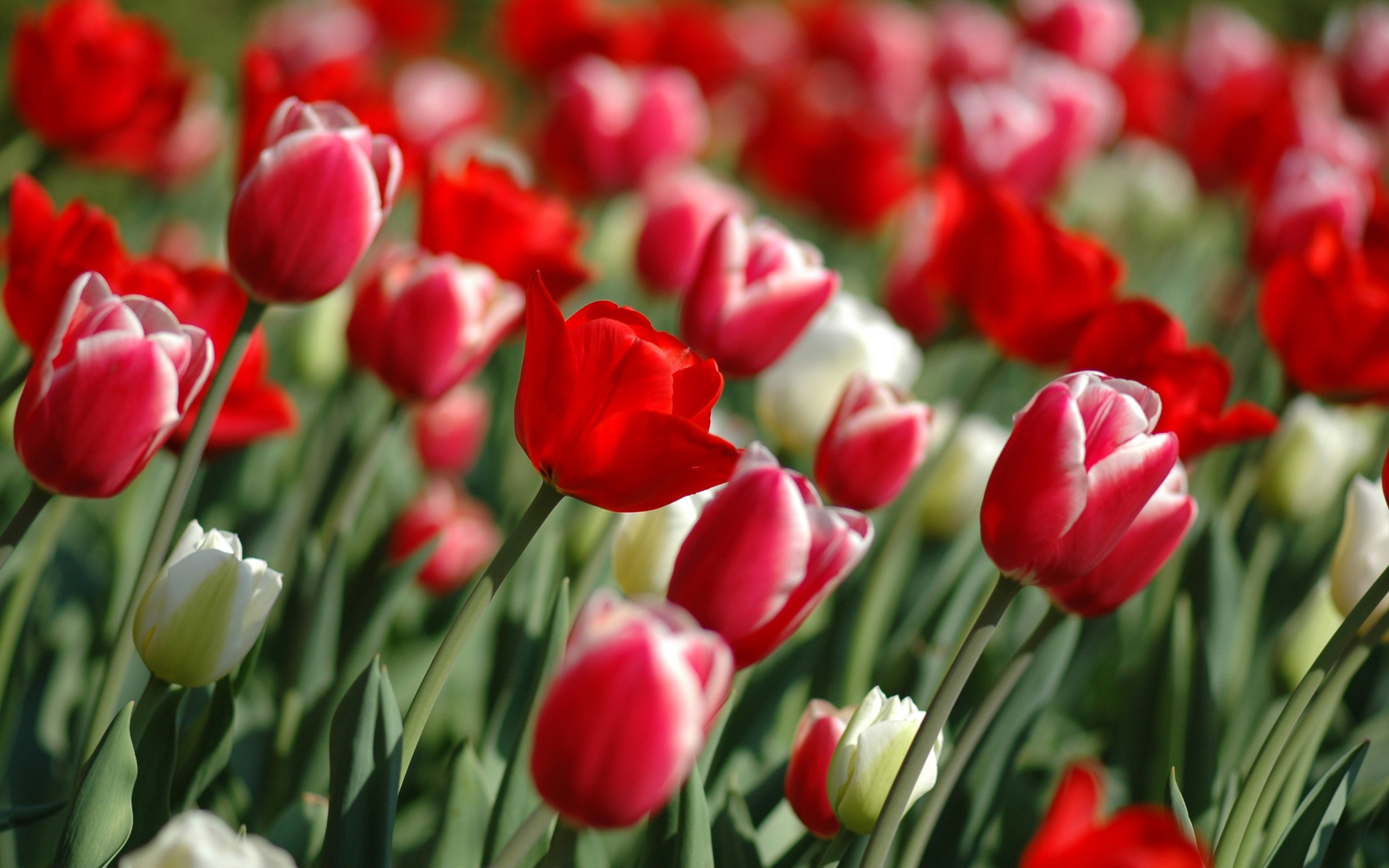 2560x1600 Spring Tulips Wallpaper Flowers Nature Wallpapers