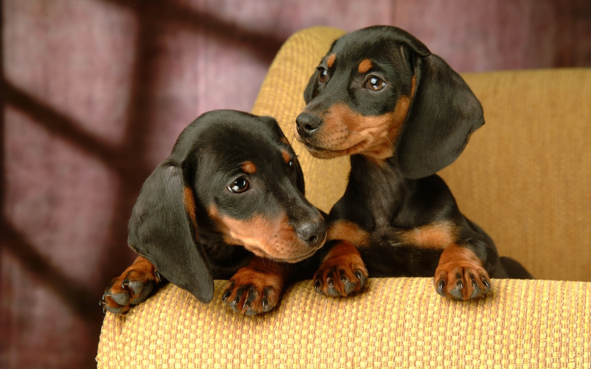 1920x1200 Miniature Dachshund Puppies Wallpapers - Puppy Dachshund 1920*1200 NO.1  Wallpaper