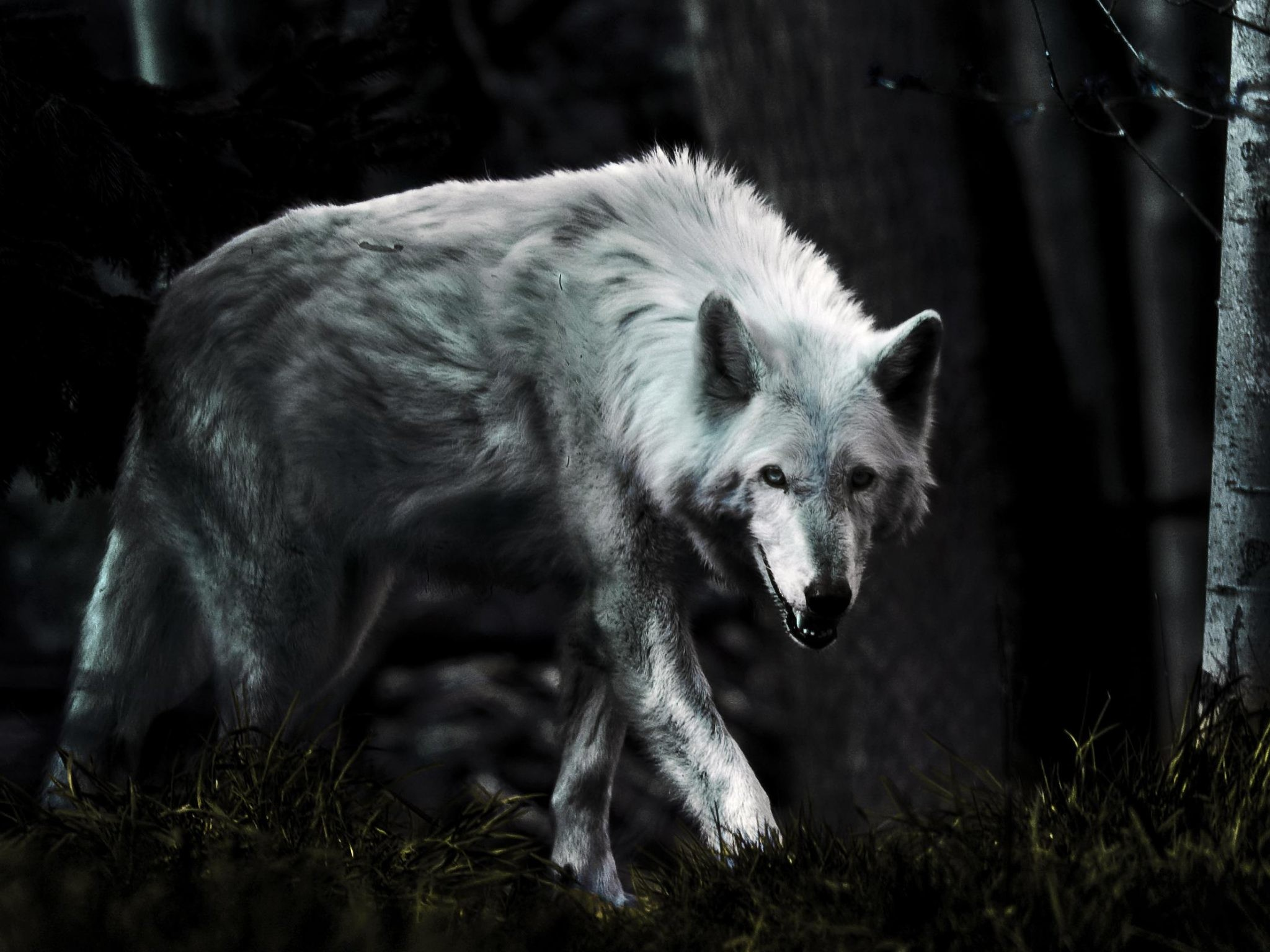 Tablet 1280x1280: White Wolf Wallpaper (74+ Images