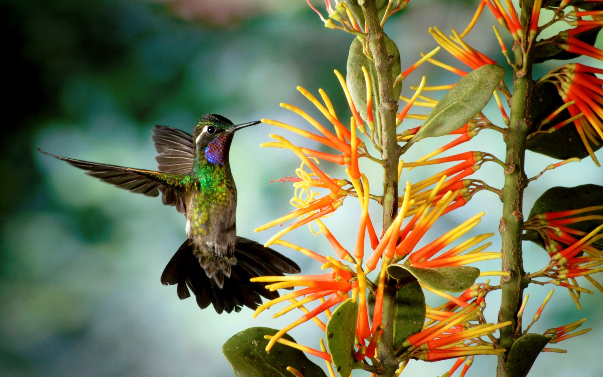 1920x1200 humming birds wallpapers and backgrounds | HD Hummingbird Wallpaper