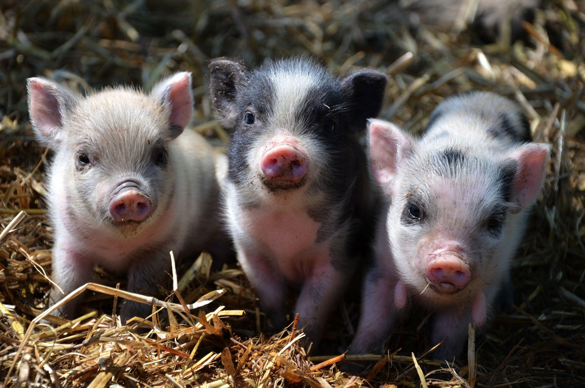 Cute Pig Wallpaper Backgrounds: Piglet Backgrounds (53+ Images