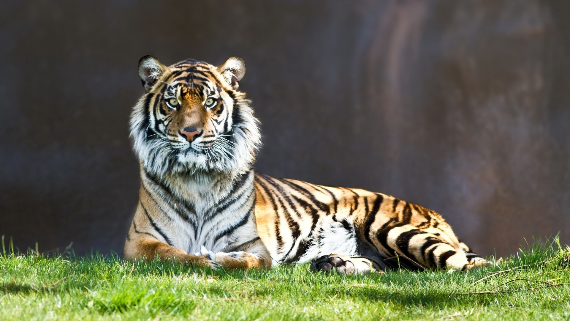 1920x1080 Cats - Tiger Japanese Cat Images for HD 16:9 High Definition 1080p 900p 720p