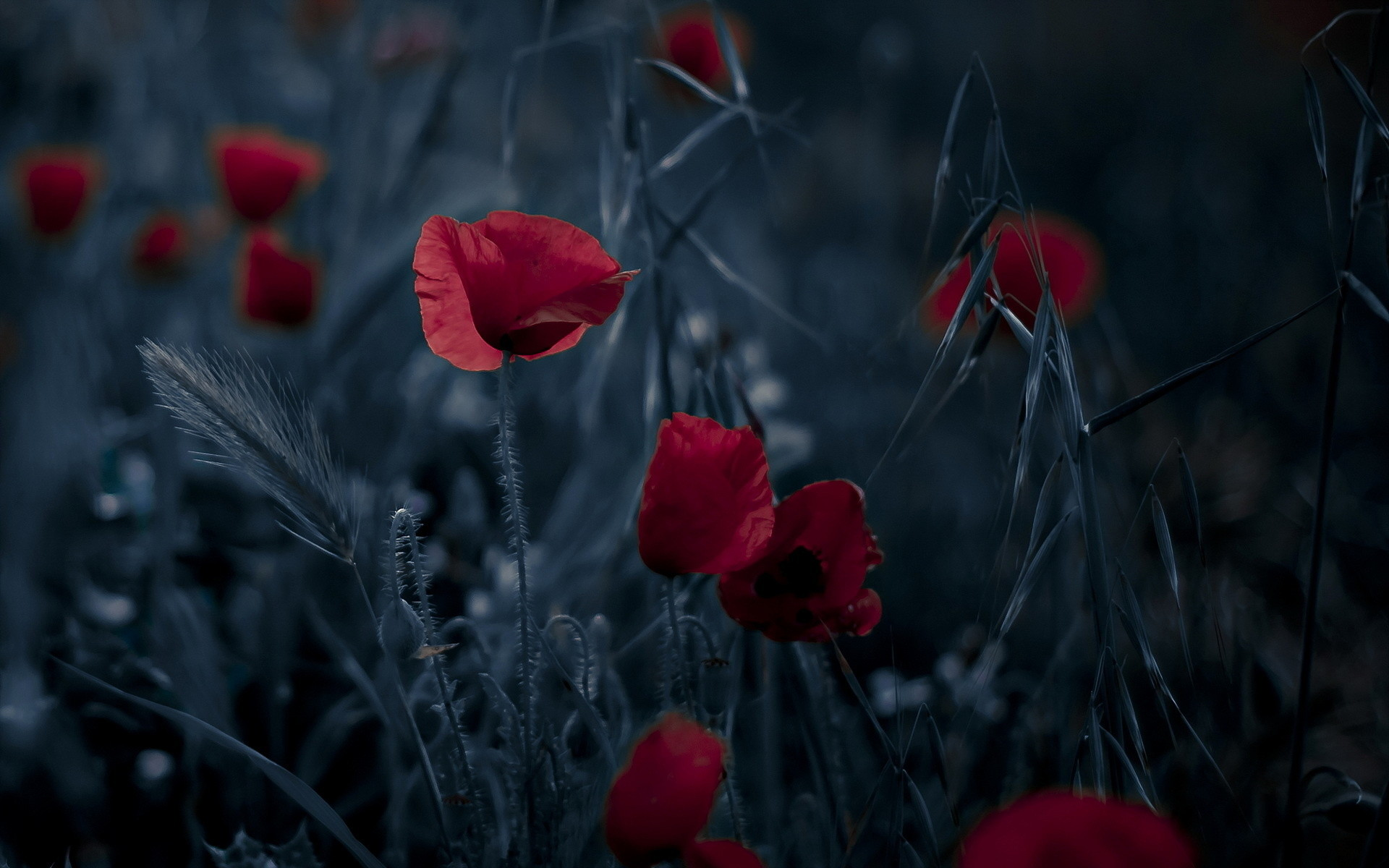 1920x1200 Poppy HD Wallpaper | Background Image |  | ID:430496 - Wallpaper  Abyss