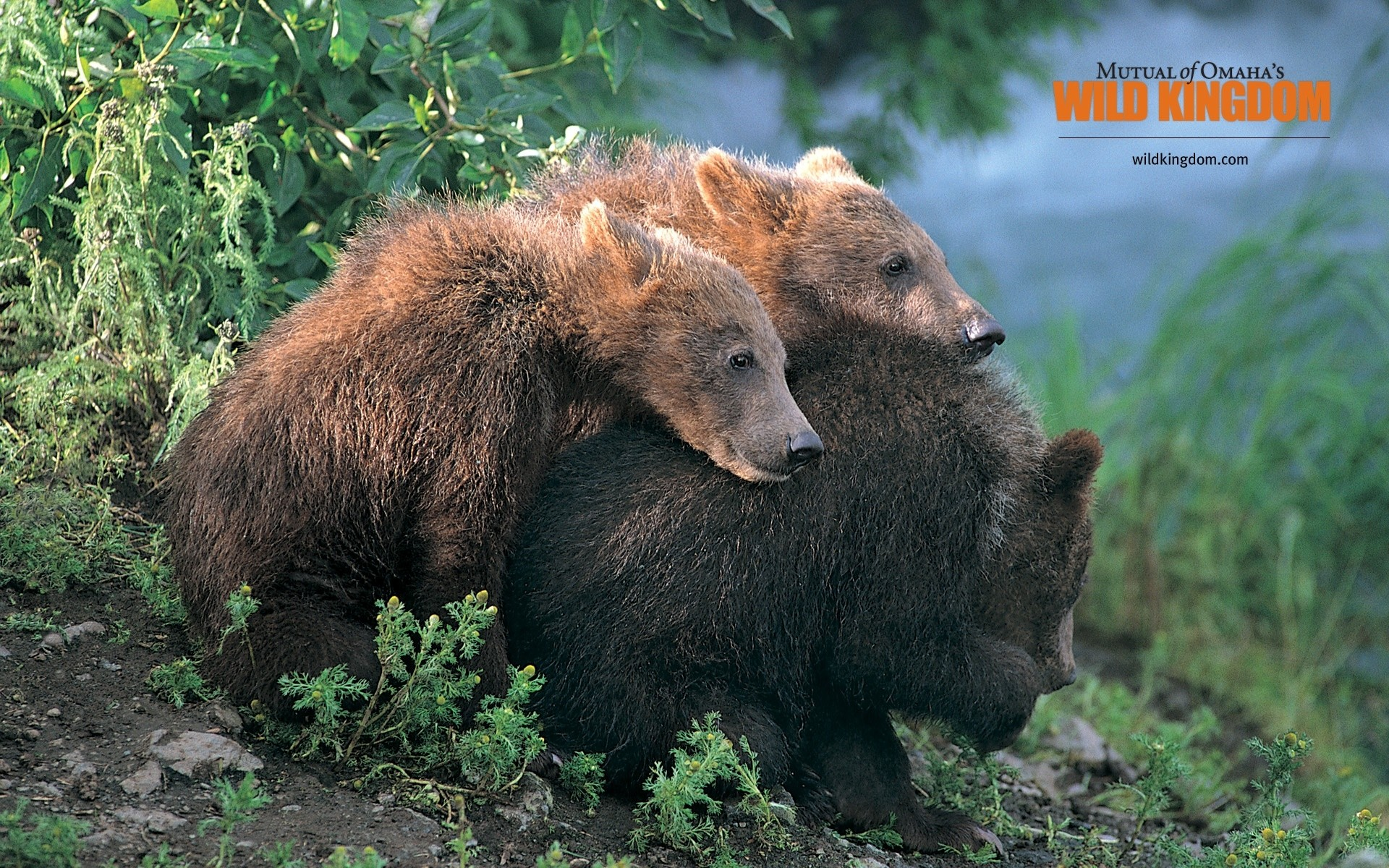 1920x1200 Image: Brown Bears wallpapers and stock photos. Â«