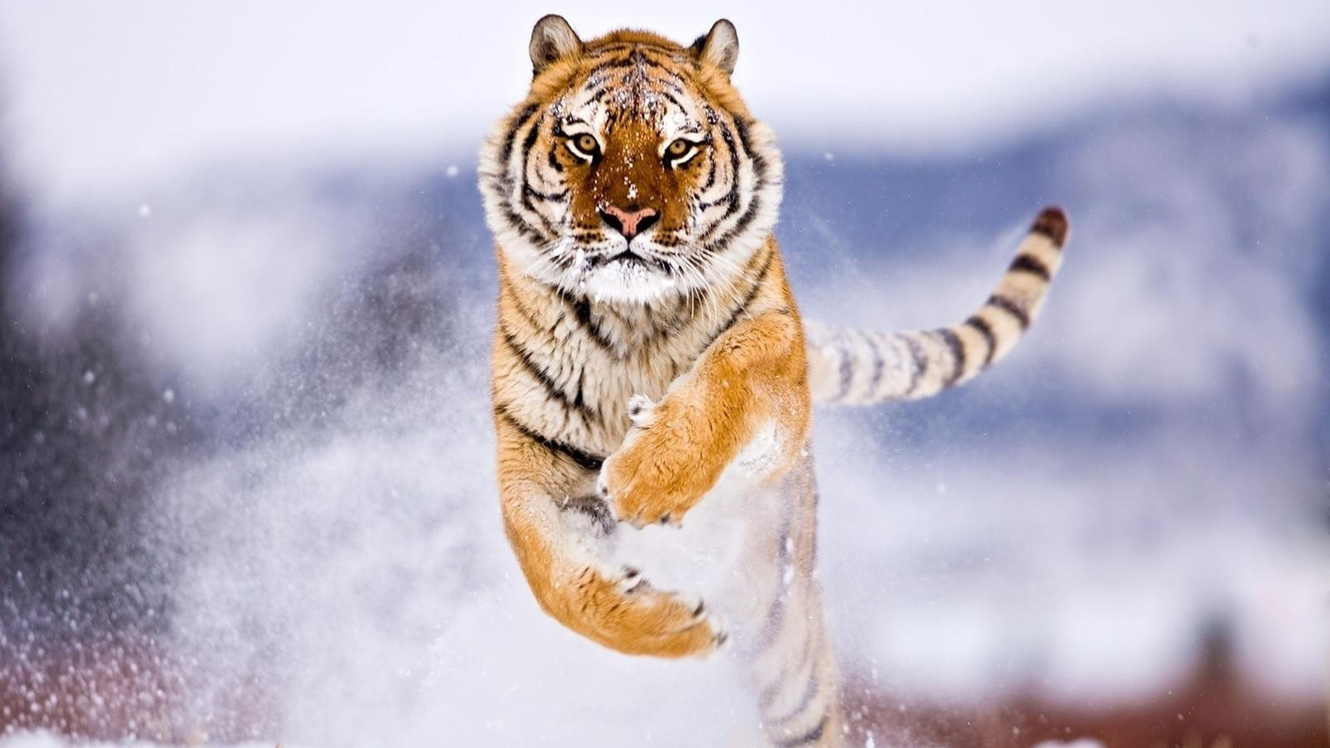 1920x1080 Siberian snow tiger iPhone Wallpapers iPhone Wallpaper