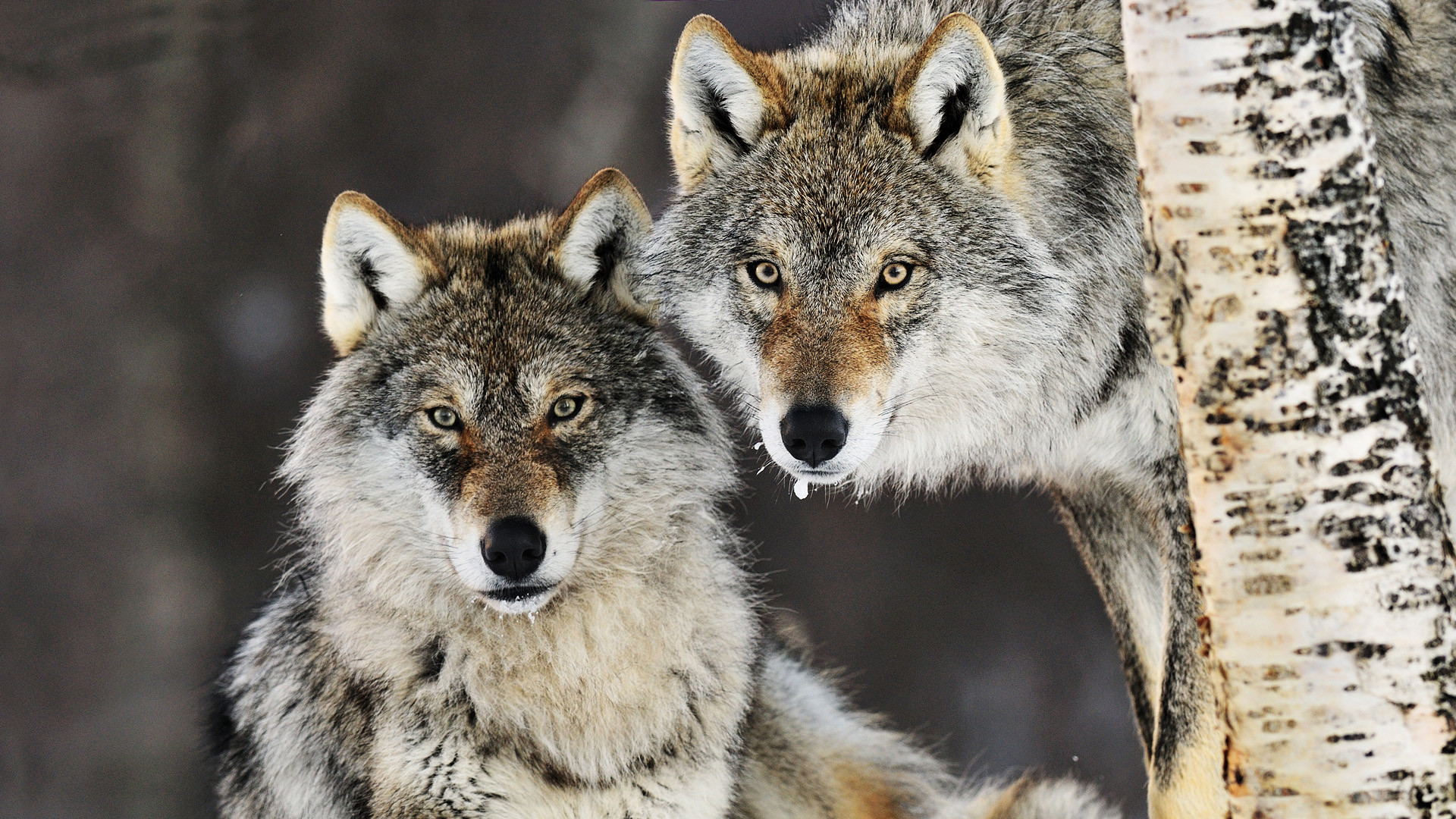 Wolf desktop wallpaper 1920x1080 69 images - Animal 1920x1080 ...