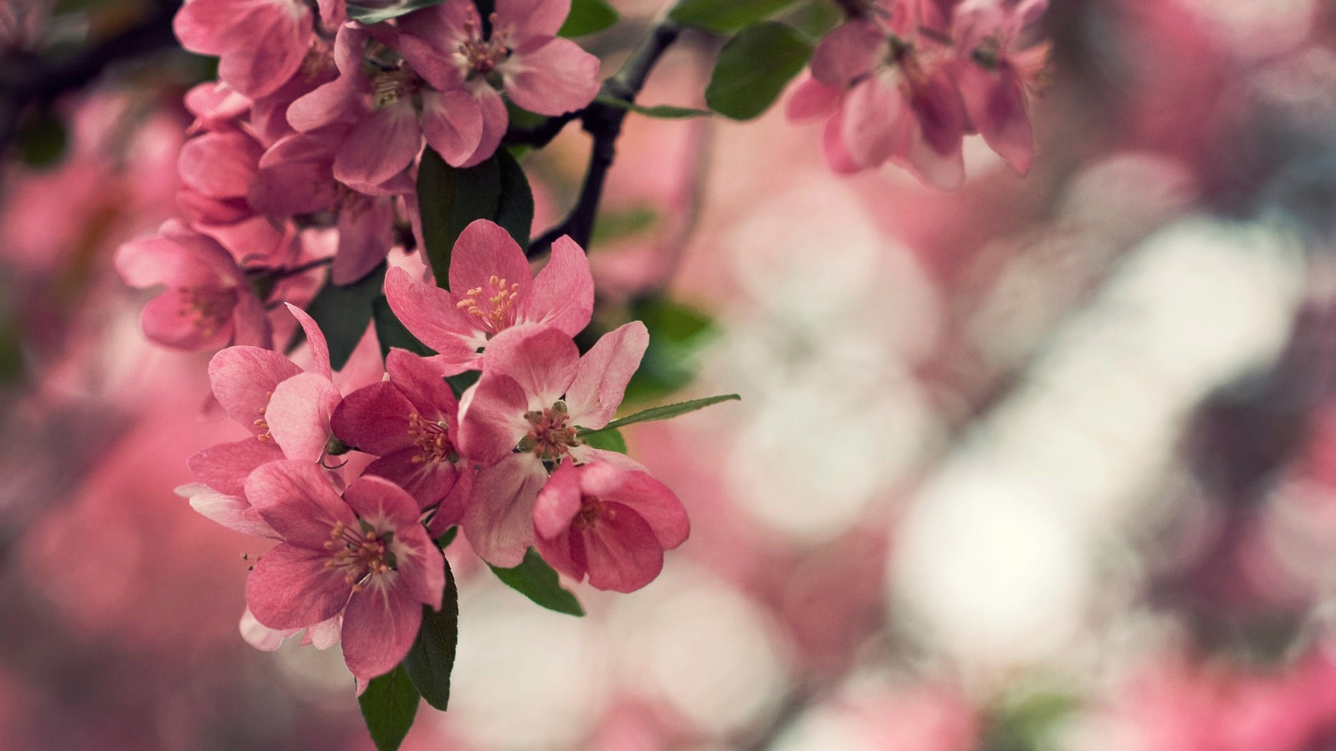 1920x1080 Peach Flowers HD Wallpapers