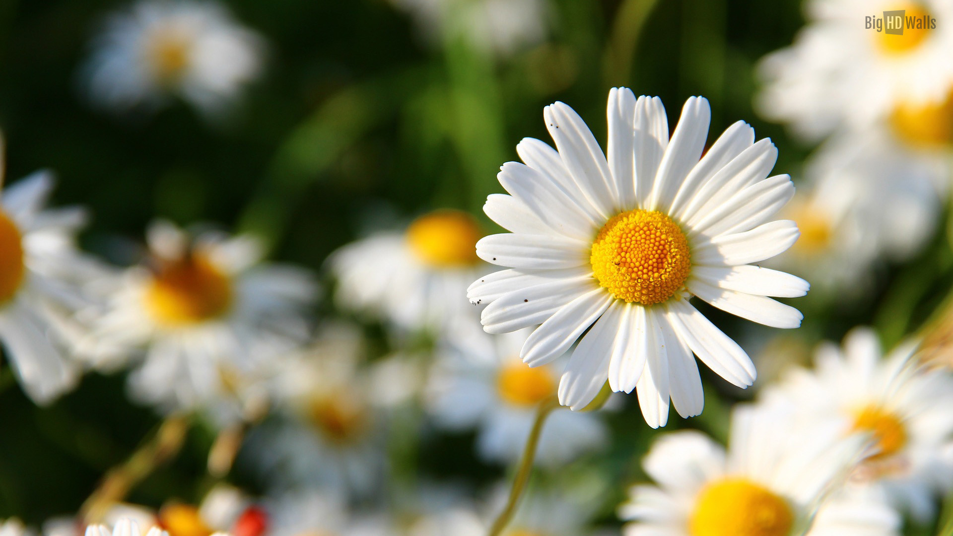 Daisy flower wallpaper 57 images 1920x1080 daisy flower hd desktop backround izmirmasajfo Choice Image