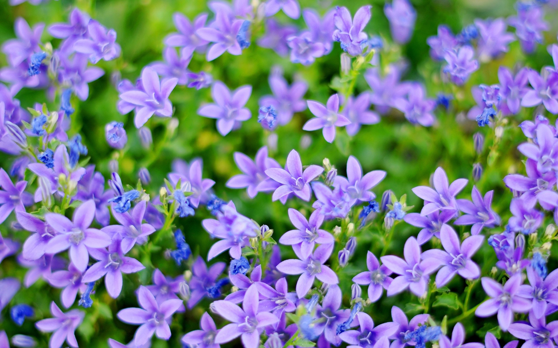 1920x1200  flowers purple blue small freewallpapers wallpapers .  Download · 3600x3424 ...