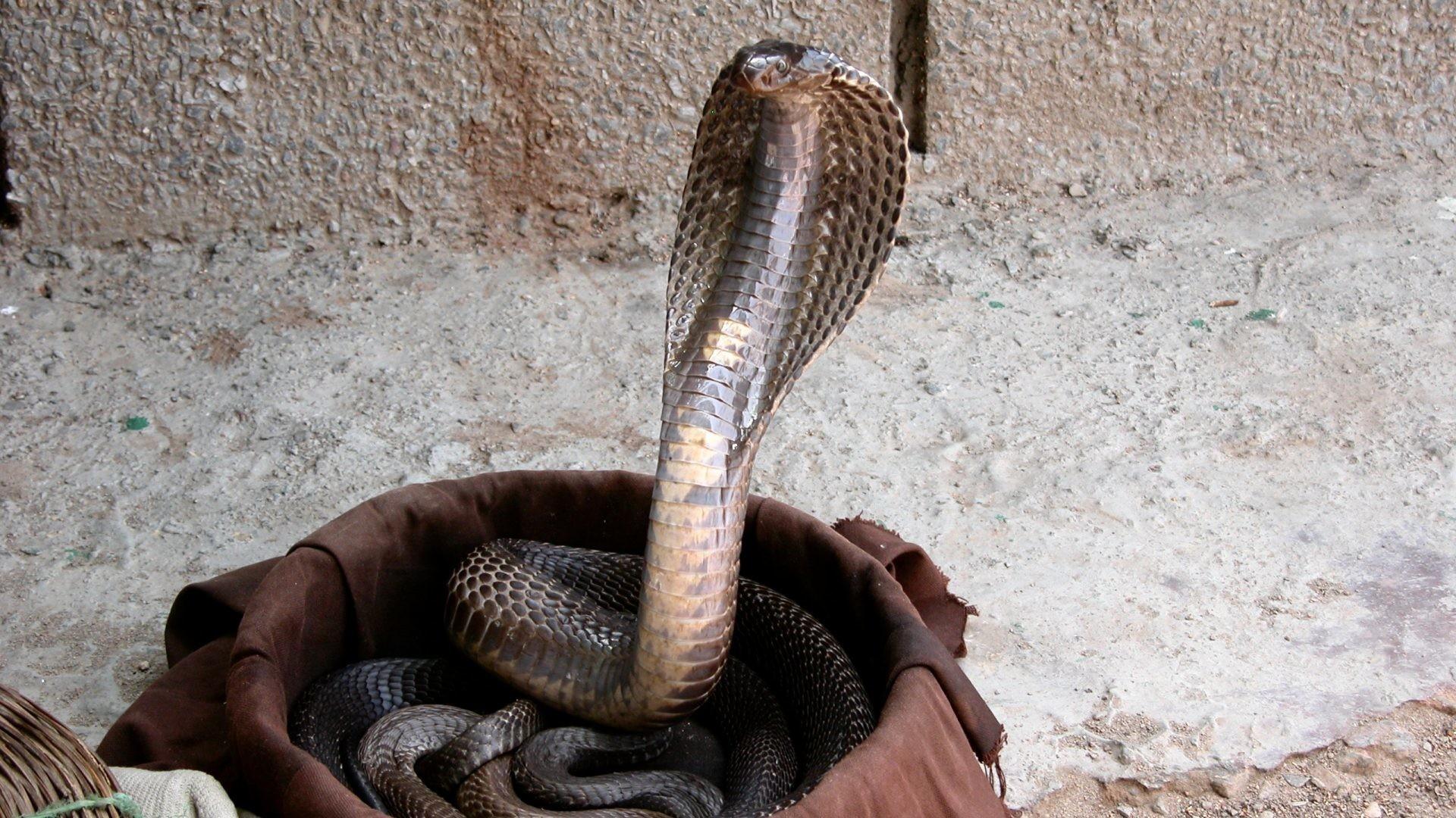 The snake charmer venomous shot - 3 4