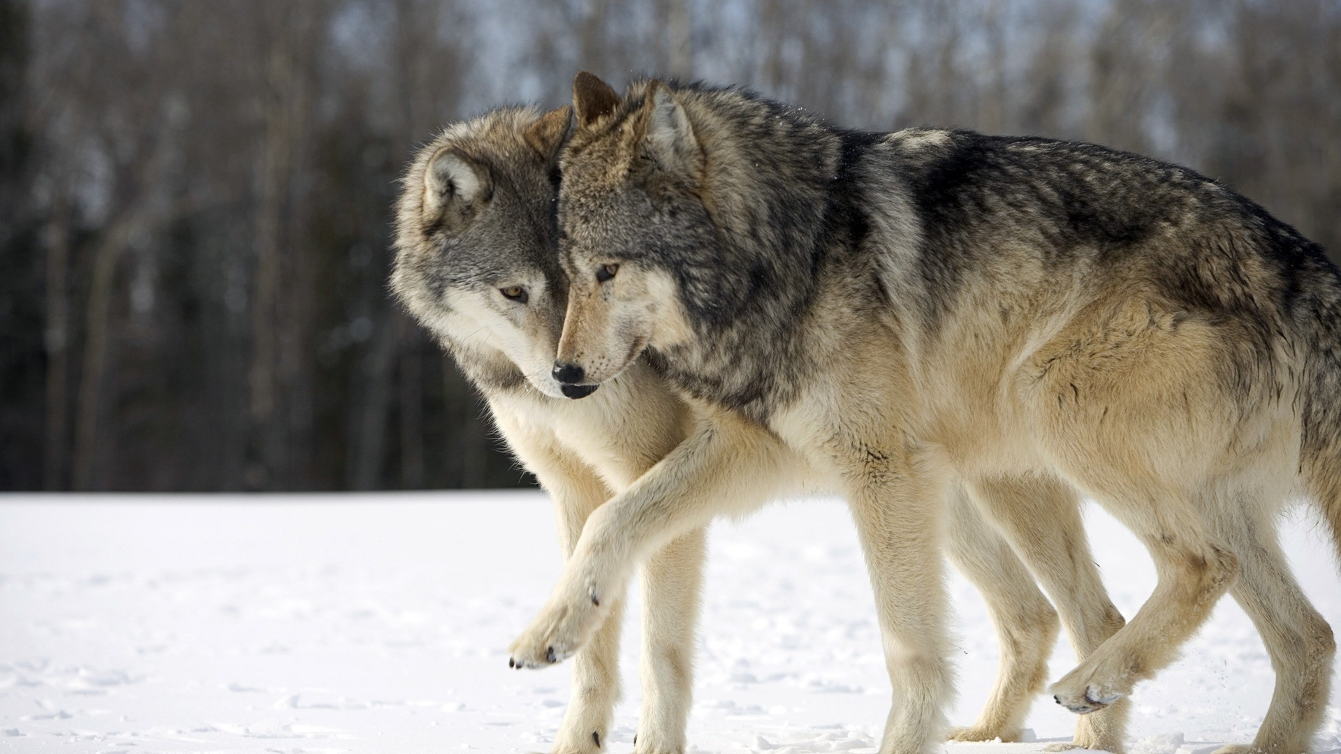 HD Wolf Wallpapers 1080p 71 Images