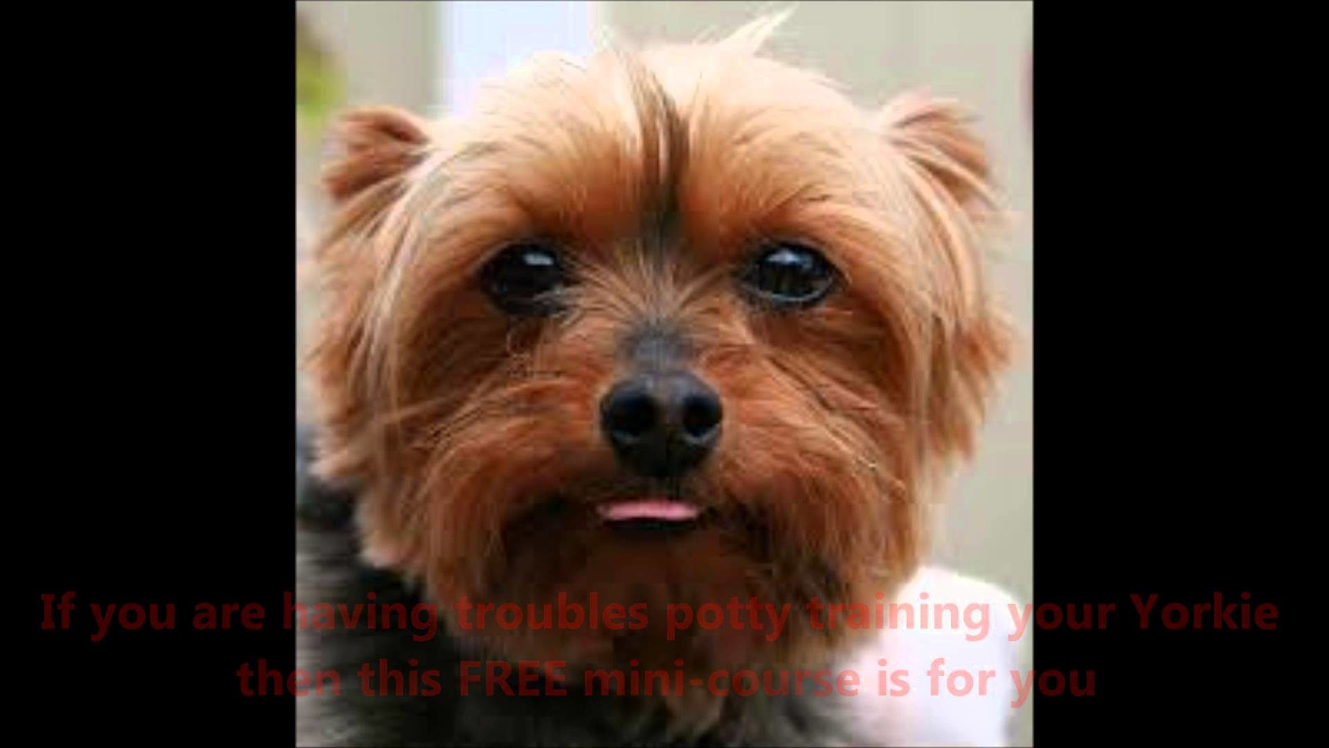 1920x1080 STOP Your Yorkshire Terrier from using you House as a Bathroom- Excellent  FREE MINI-COURSE